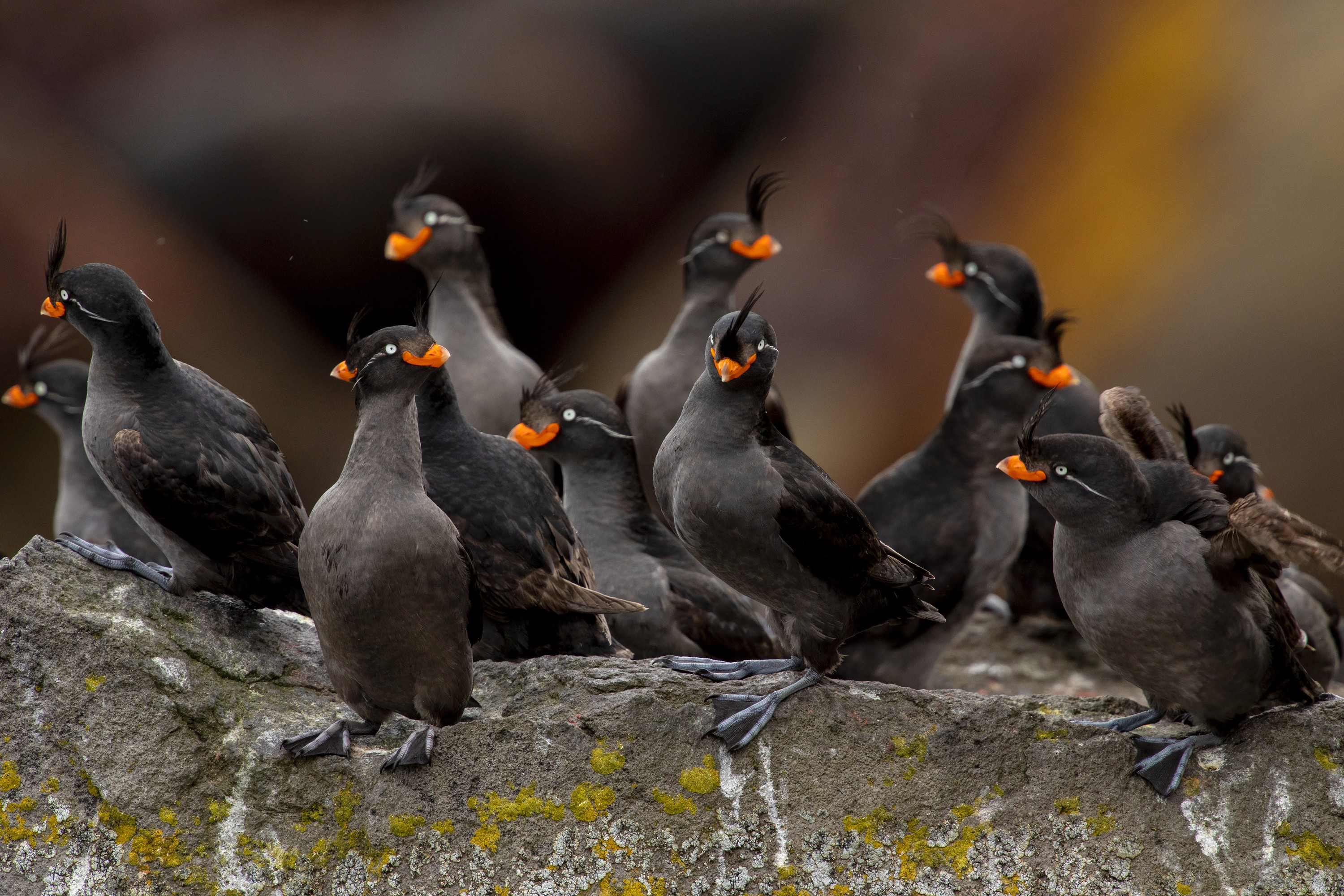 "A close up view of a group of black seabirds with bright orange beaks and feather ""crests"" on their foreheads."