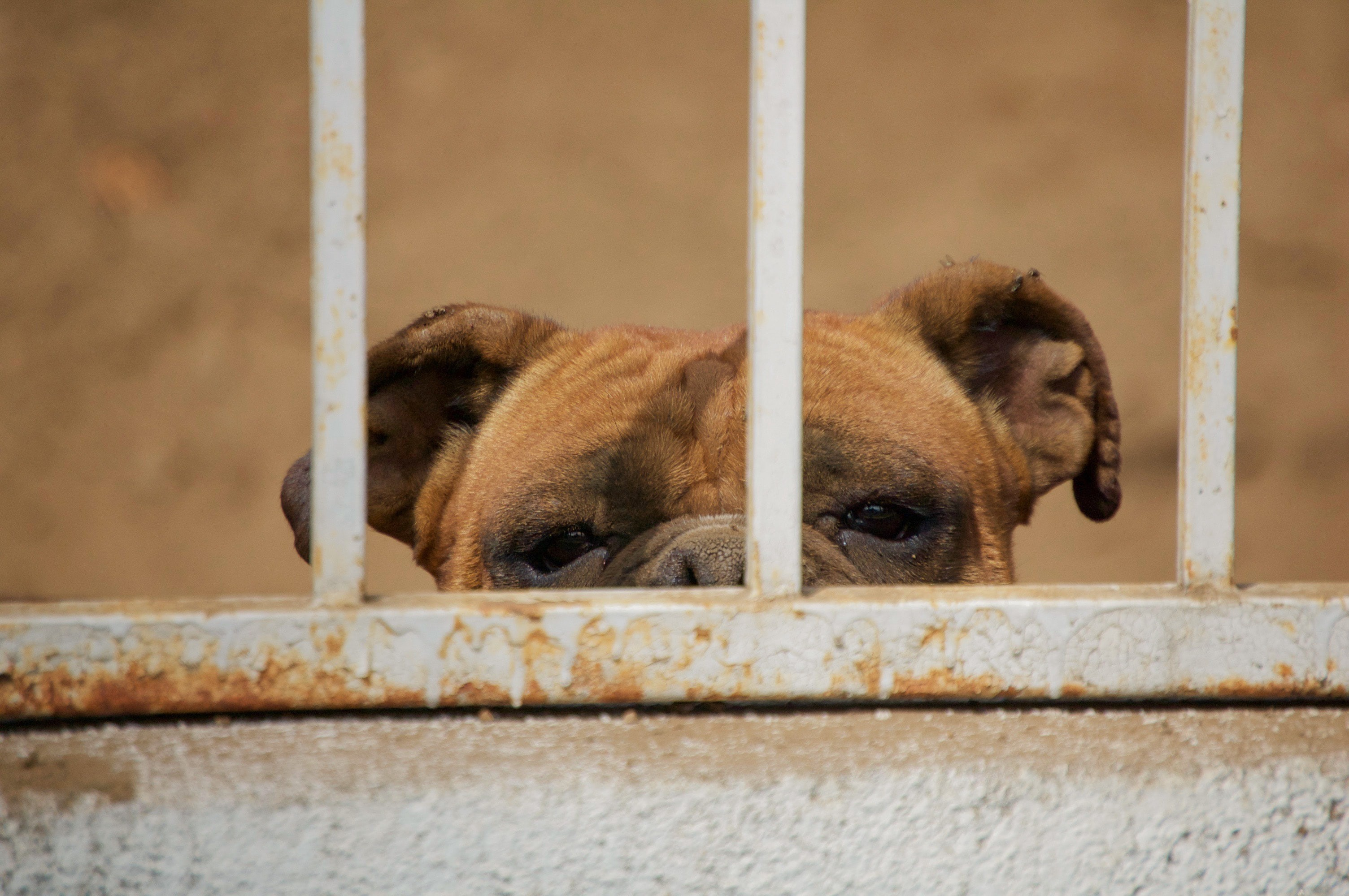 Light brown dog behind a rusted cage with only upper face showing