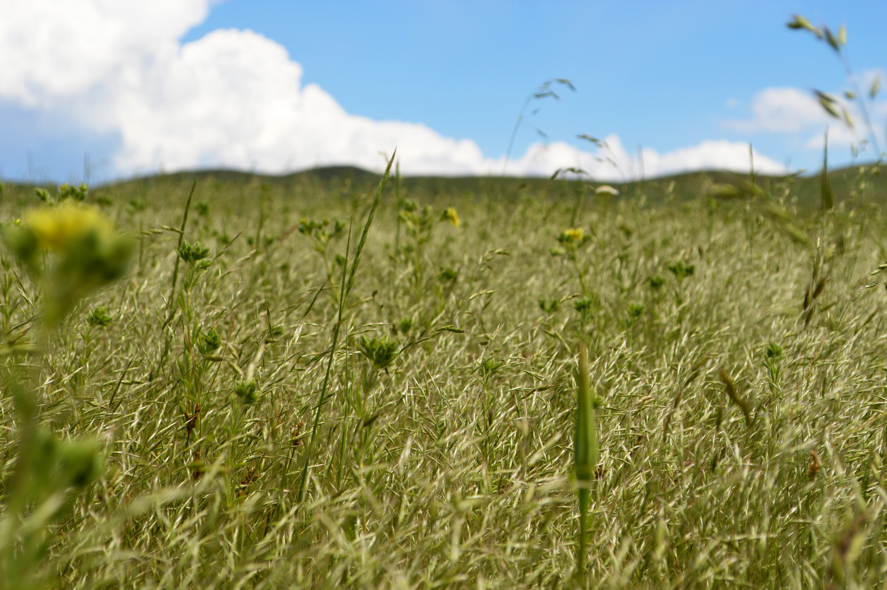 A green field full of plants below blue skies and white billowy clouds.