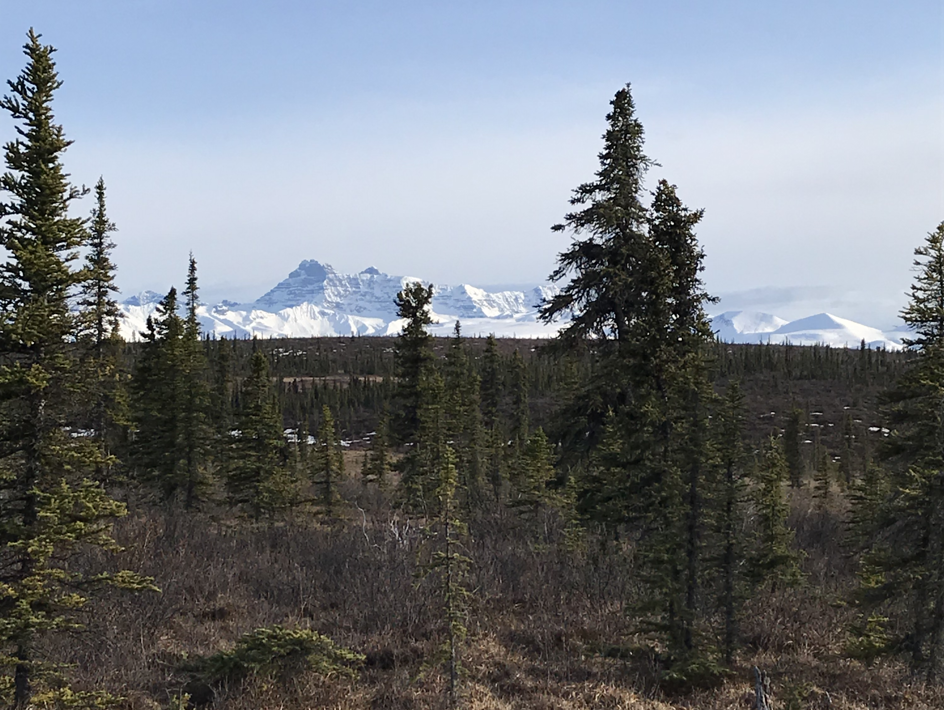 View of the mountains through the black spruce