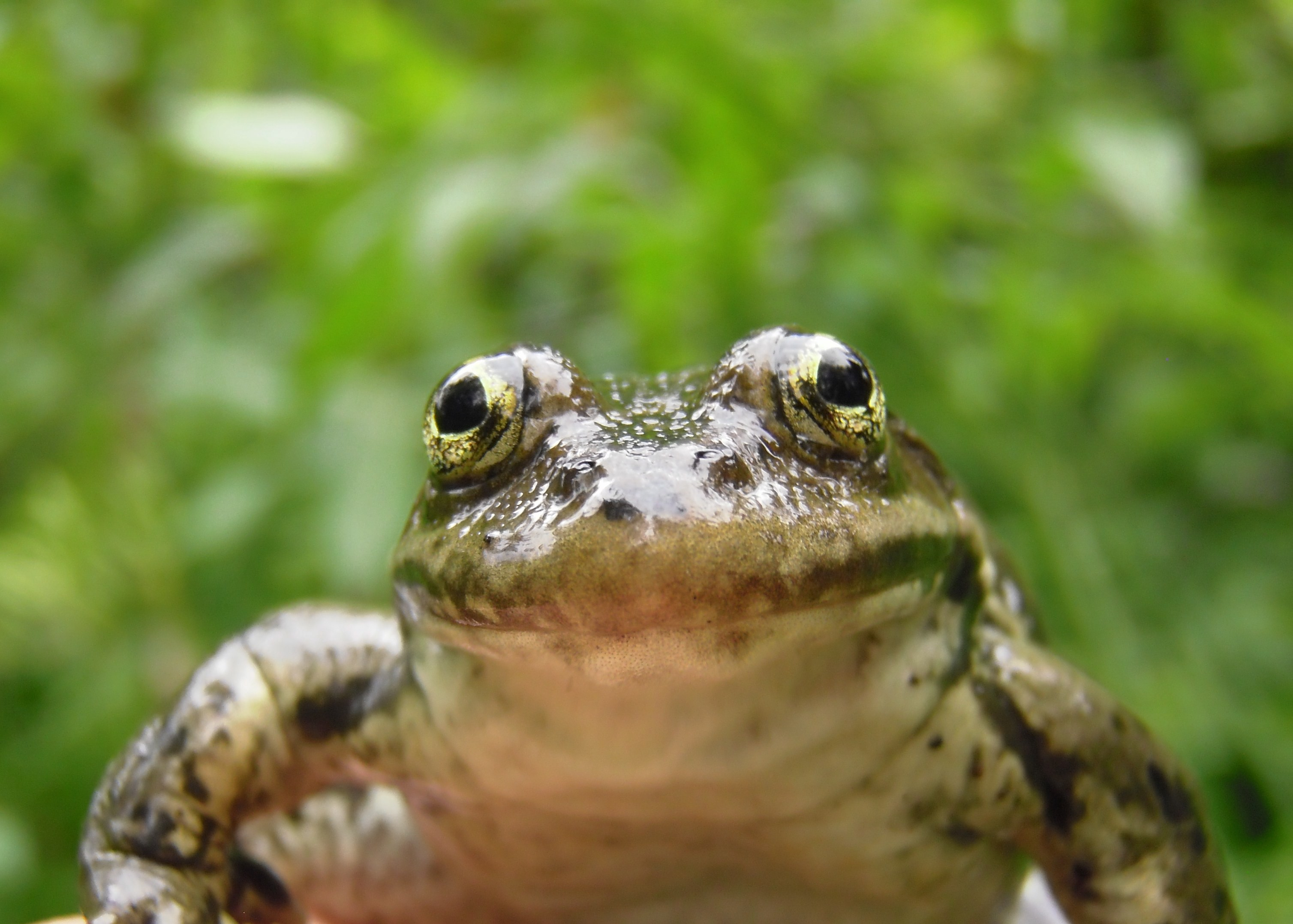 A close-up of an olive green frog, that has a light colored underside, and bulgy gold eyes.