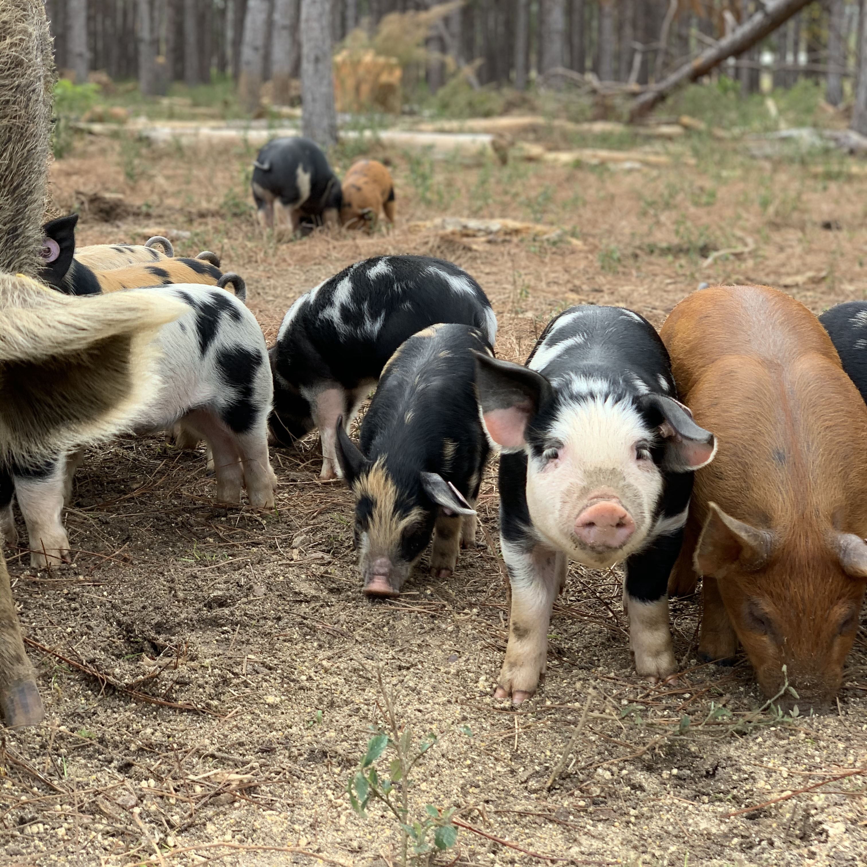 Piglets feeding in the woods