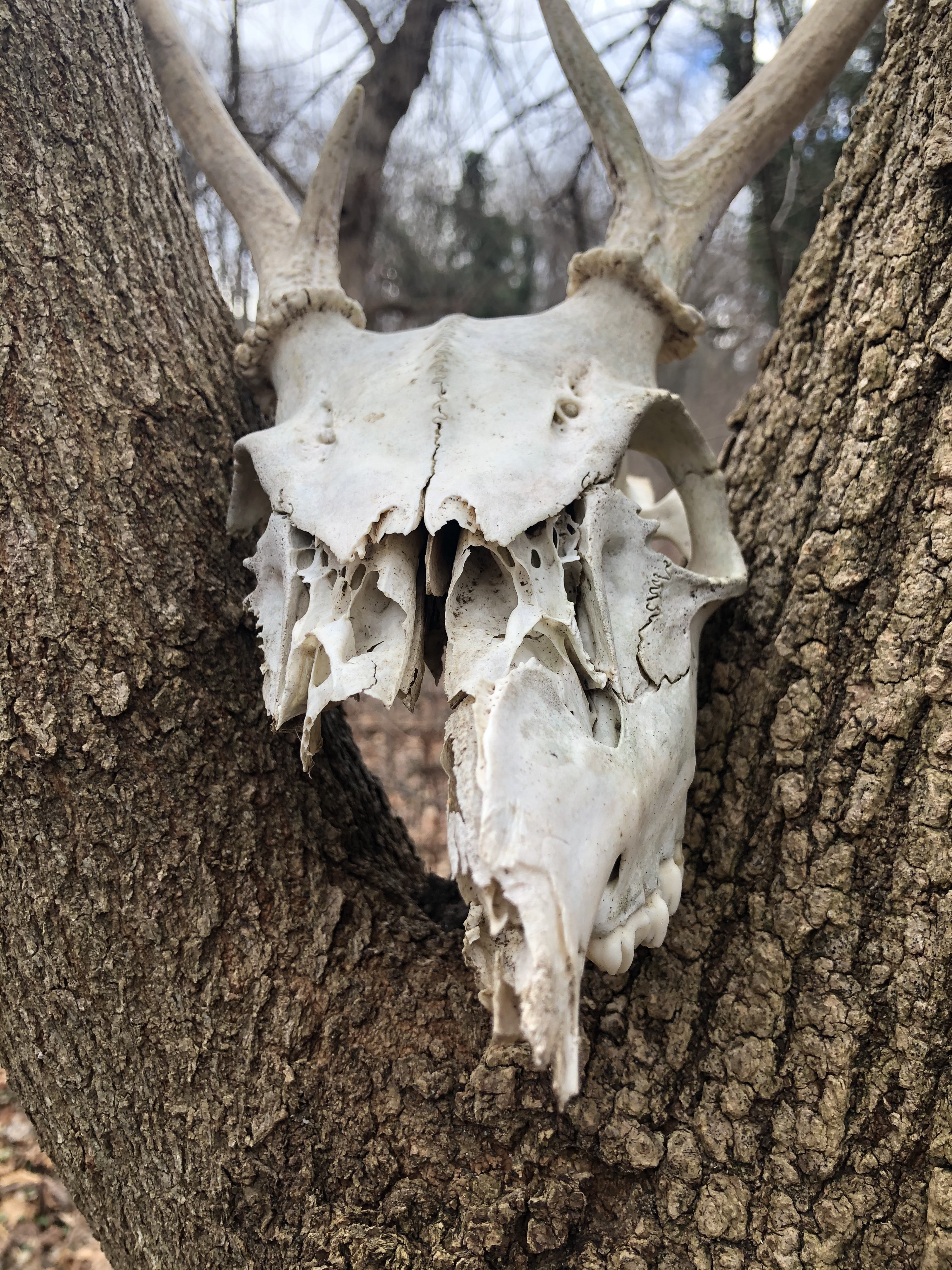 A photo of a deer skull, partially gone on the left front, balanced in between branches of a tree.