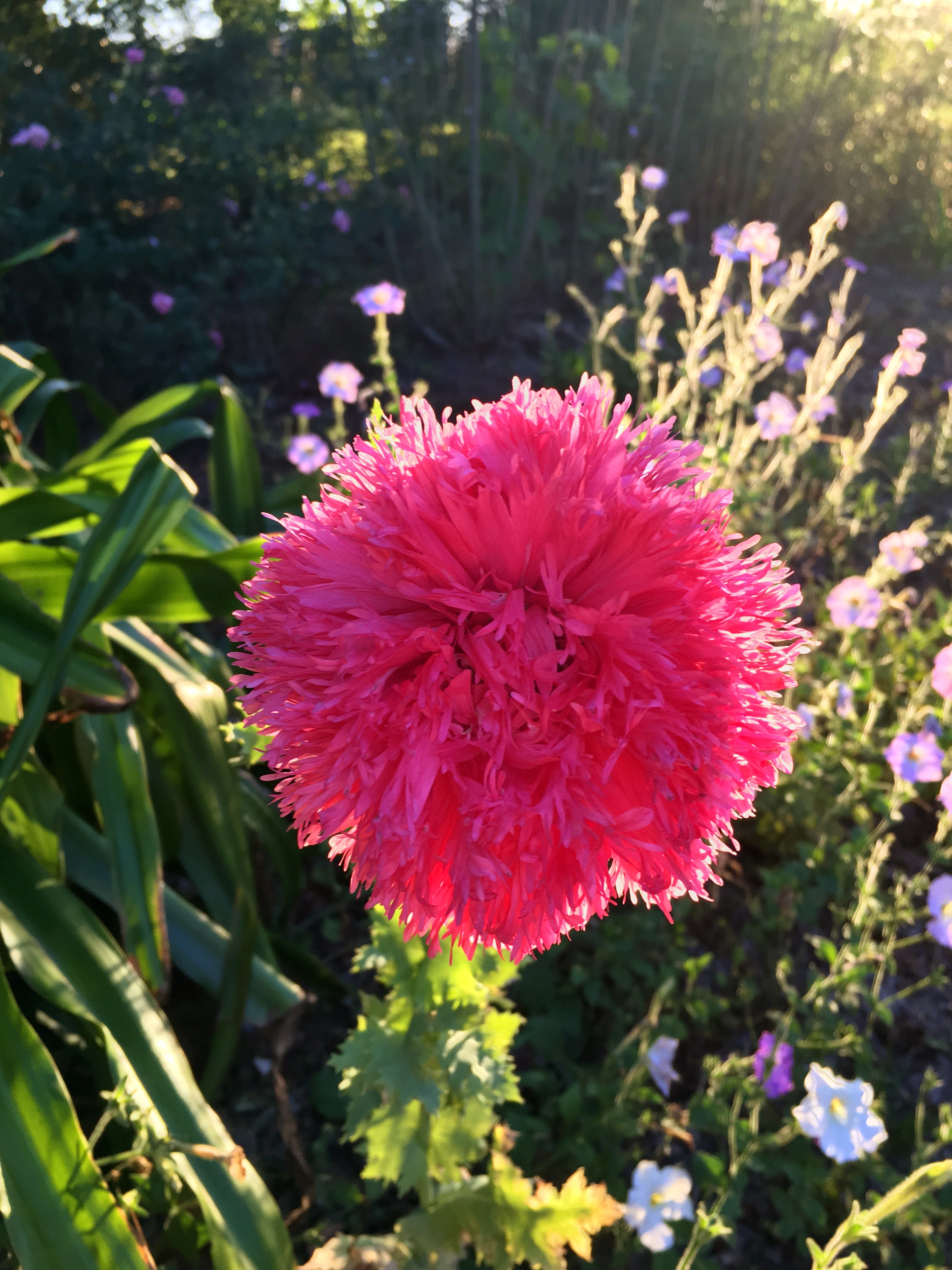 A stunning peony poppy flower obtained in the mystic hour as the sun set on the Georgia property of my 98-year-old friend.