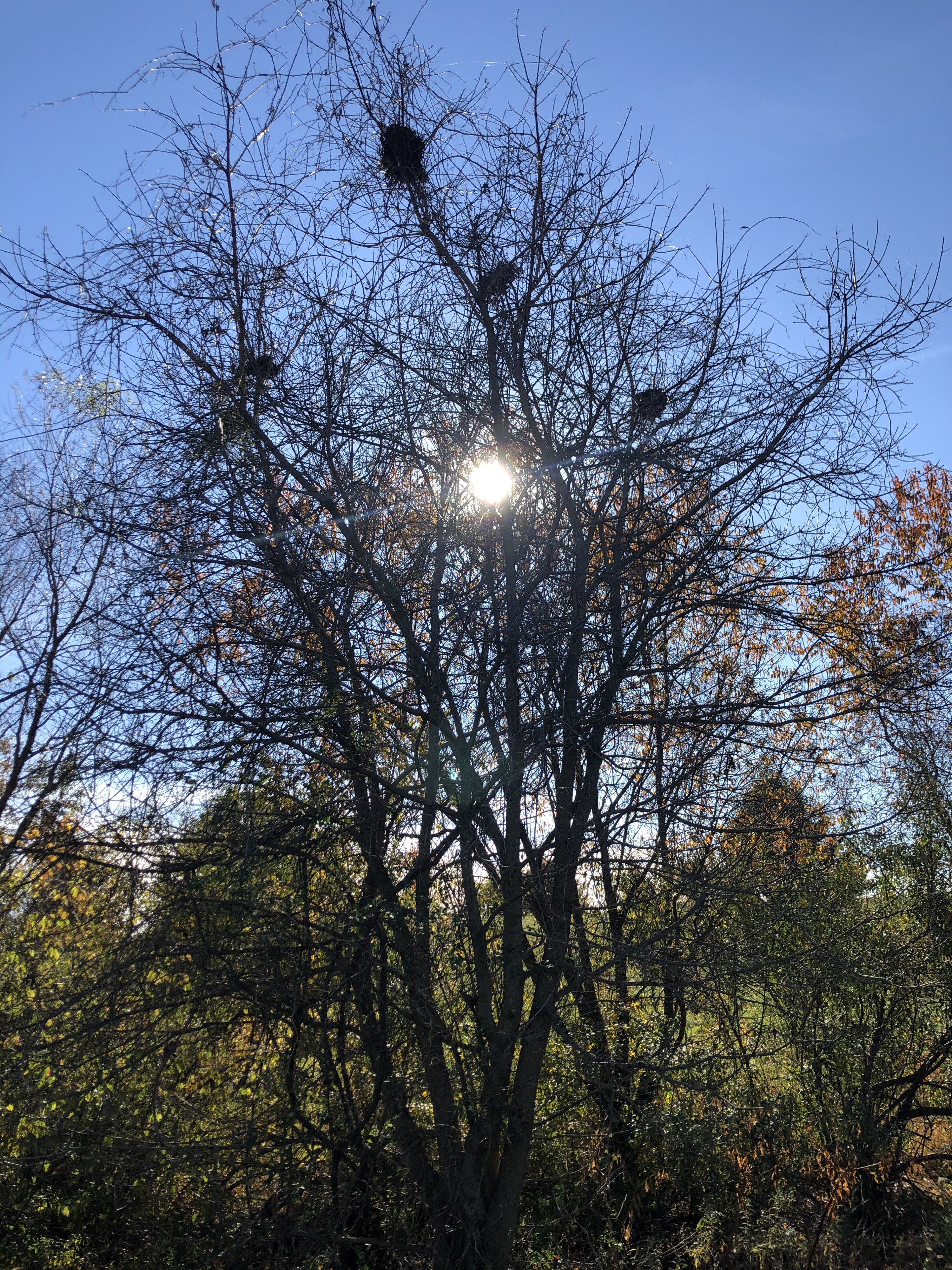 A photo of a leafless tree, with several thin shooting branches, as the sun peeks through the top.