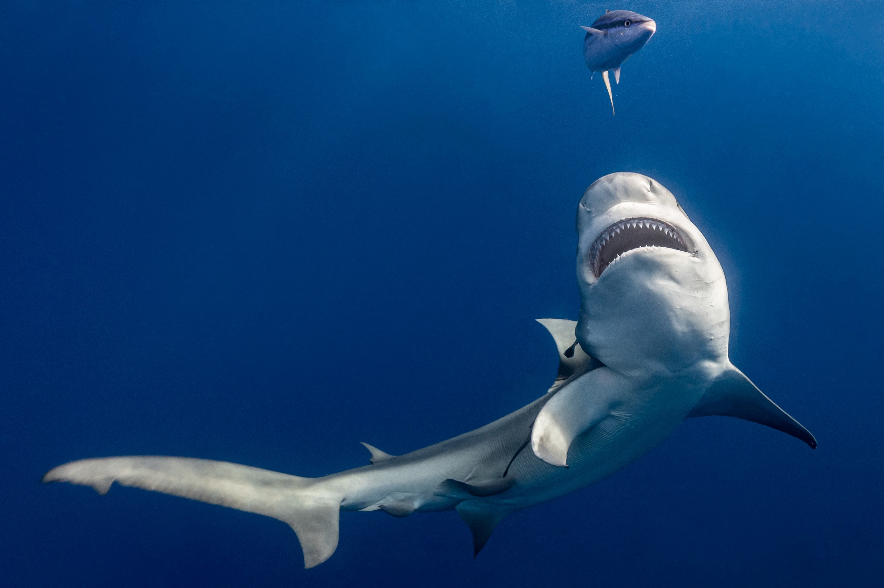 A photograph of a shark with bared teeth swimming in clear, gradient blue ocean water, another shark appears in the background