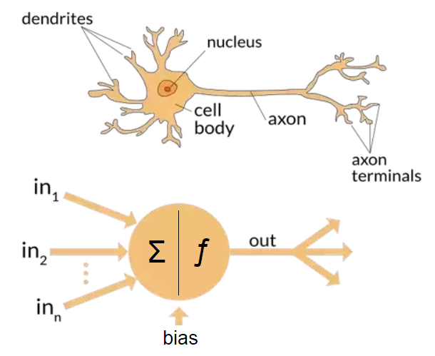 The differences between Artificial and Biological Neural