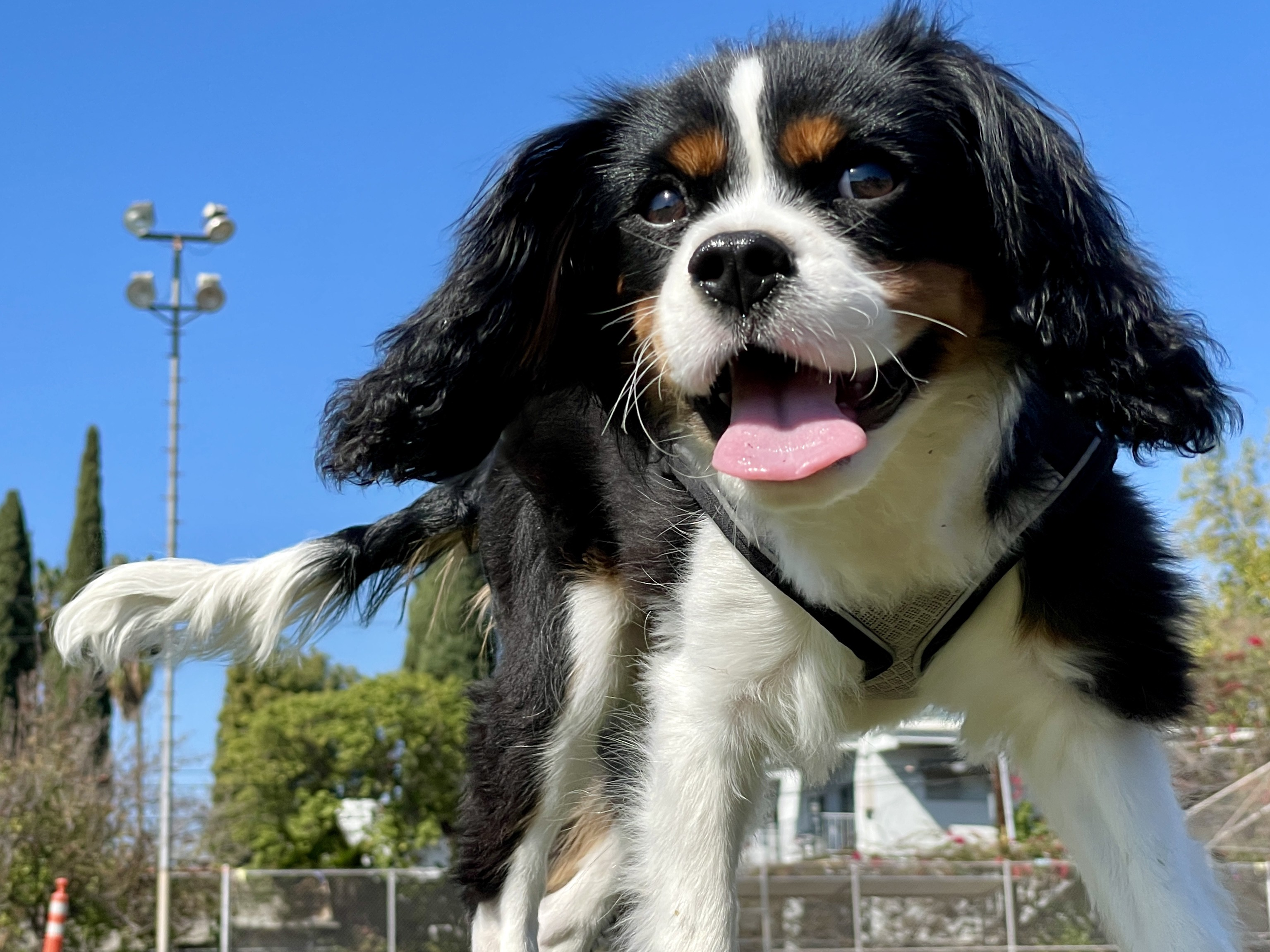 Face on photo of tricolor Cavalier King Charles Spaniel puppy in motion at a park on a sunny day