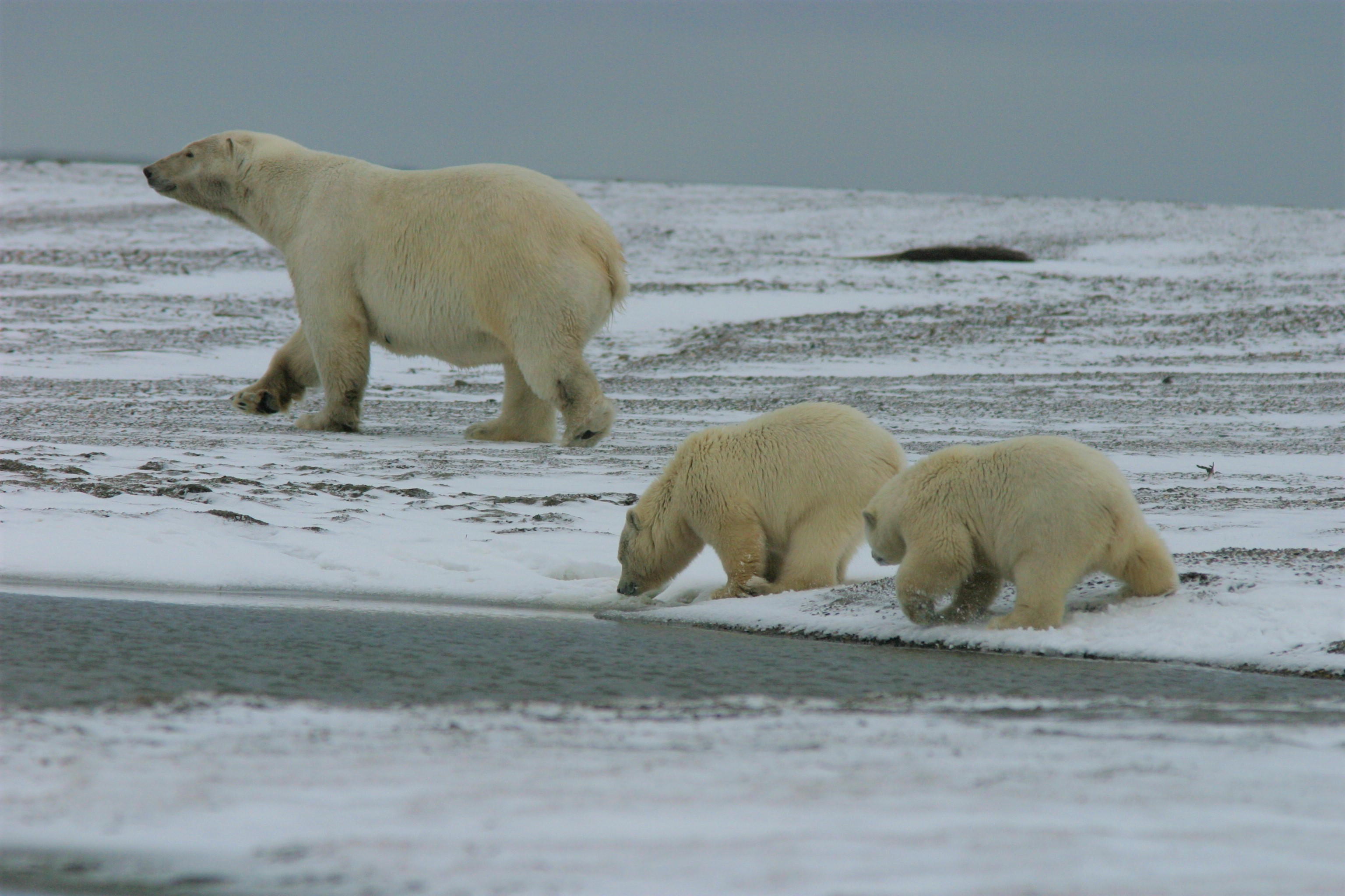 Profile of a mother polar bear with cubs following, sniffing at the ground.