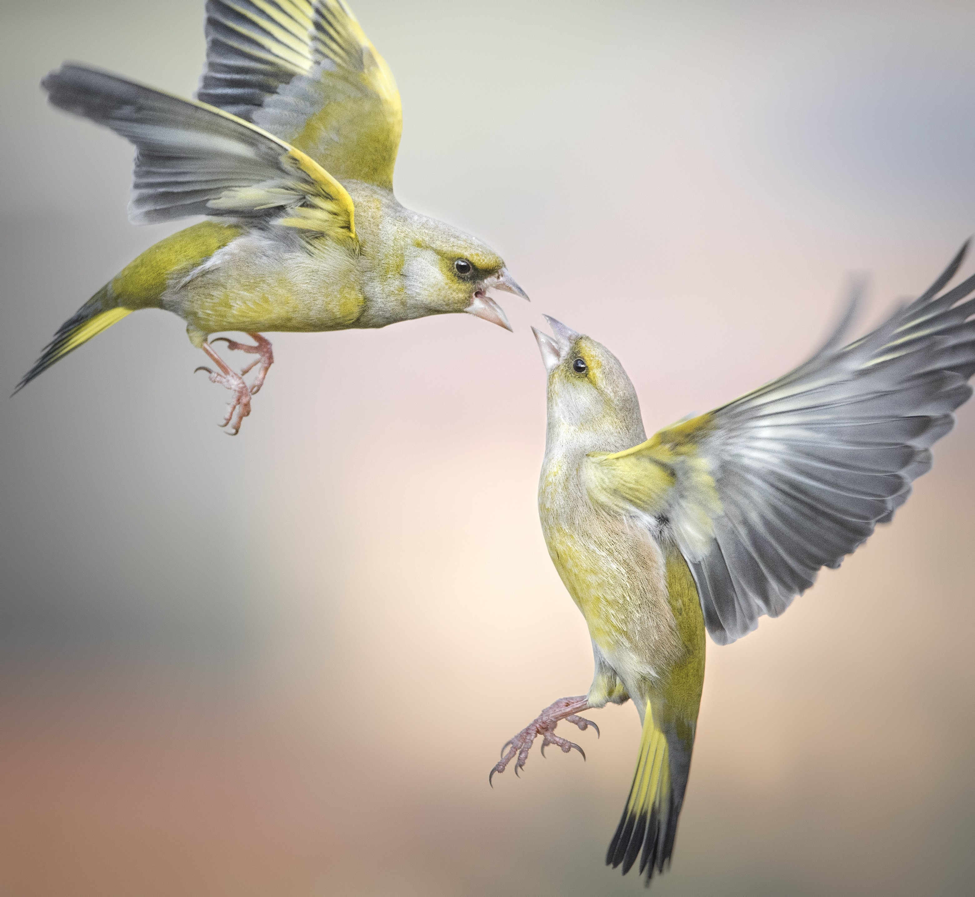 Two yellow birds suspended in mid air seem to be fussing at each other, their open mouths just a centimeter from each other