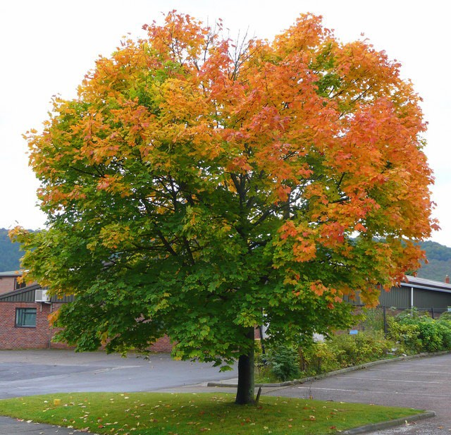 Maple Trees For Sale Houston Texas Types Of Maple Trees