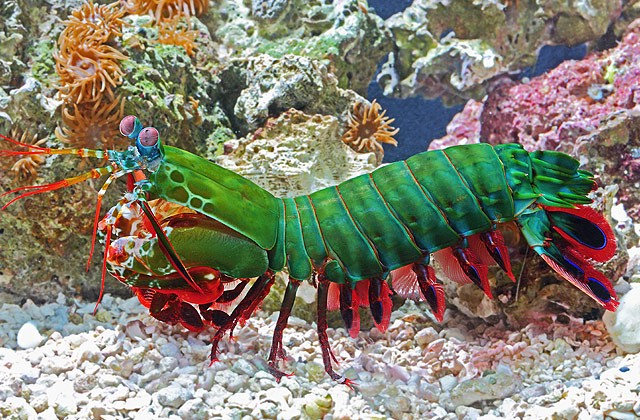 The Mighty Peacock Mantis Shrimp From The Facebook Post