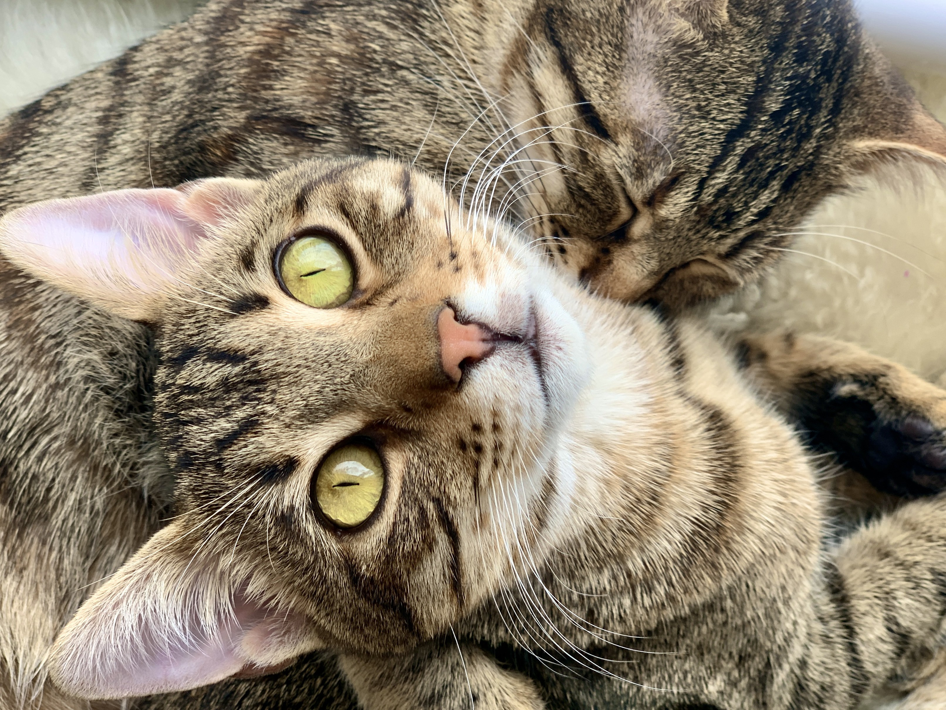 Two cats snuggling, with one facing camera