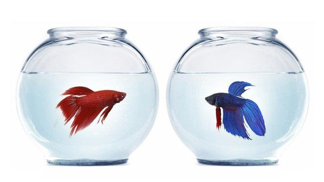 How to Distinguish Male and Female Betta Fish 8 Diferent
