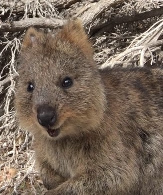 A very cute quokka. Not a marketing term but something you need to know about