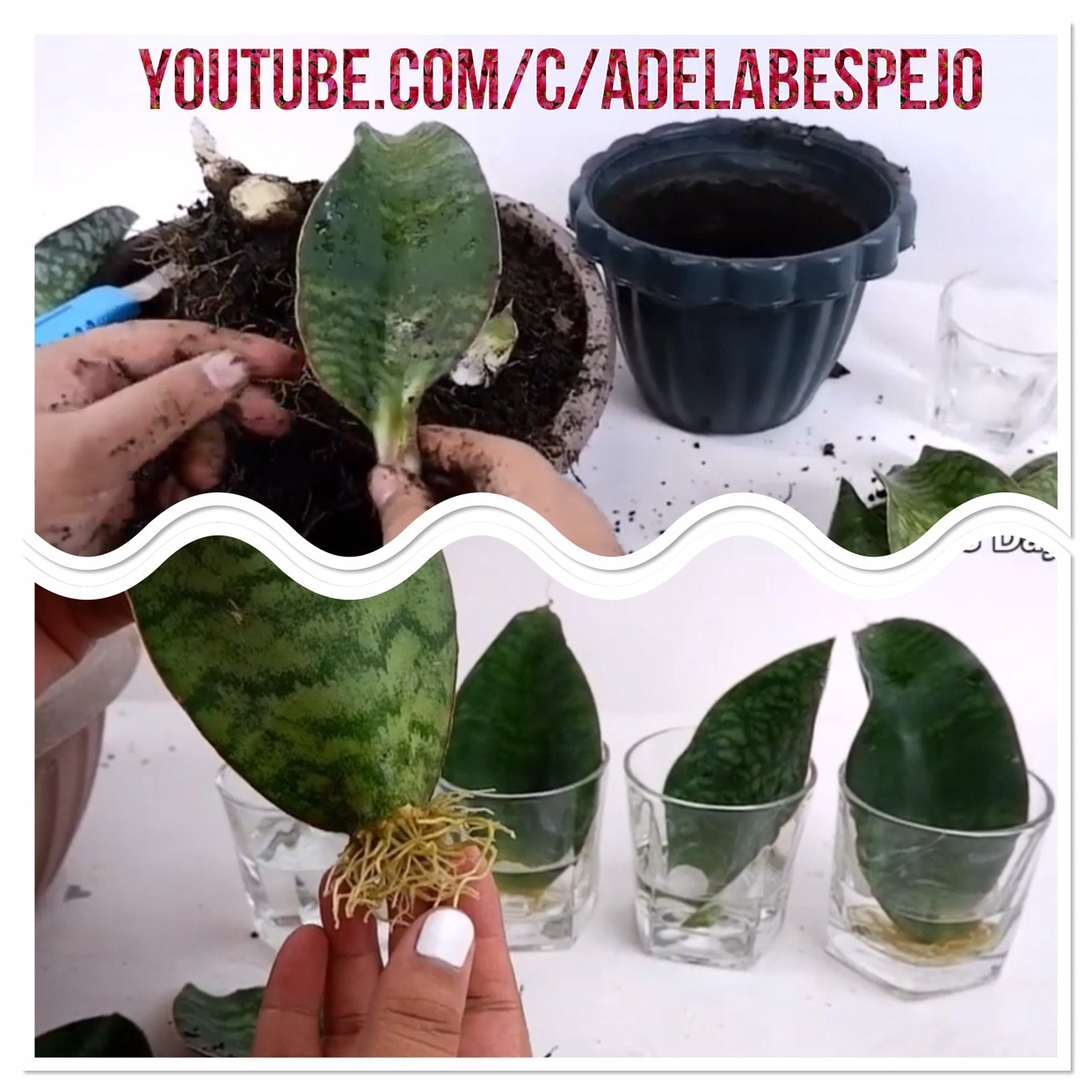 Whale Fin Snake Plant Sansevieria Masoniana Care Leaf Propagation In Soil And Water By Greneree Espejo Medium