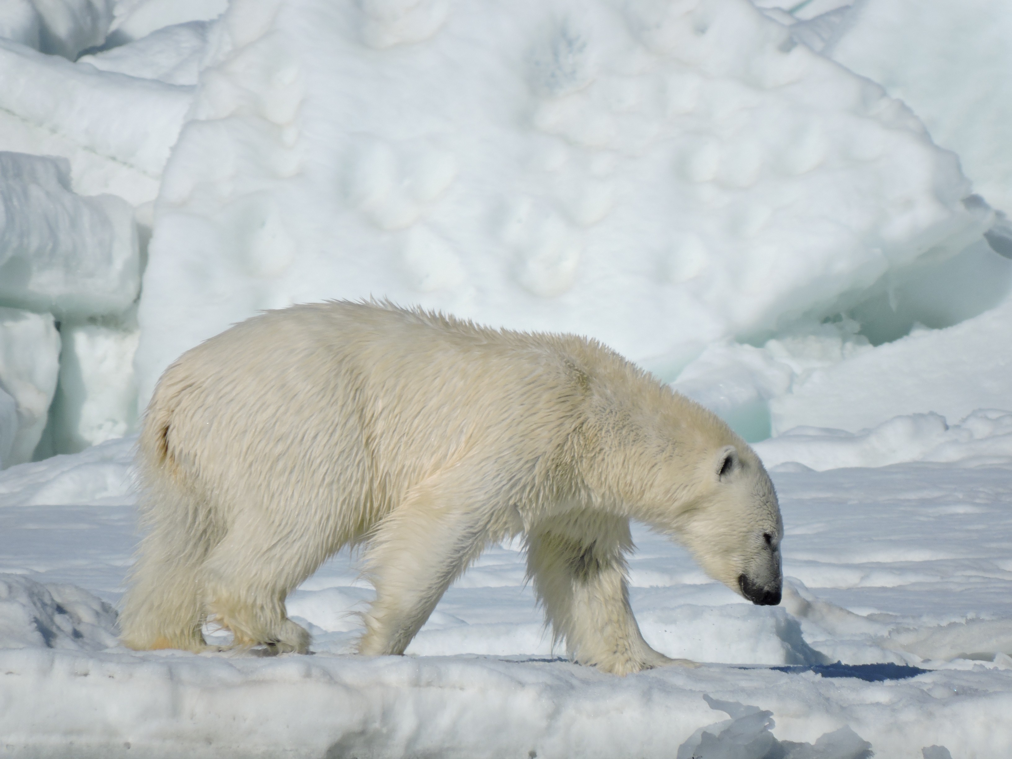 Side view of a polar bear walking with head down, large ice chunks in the background.