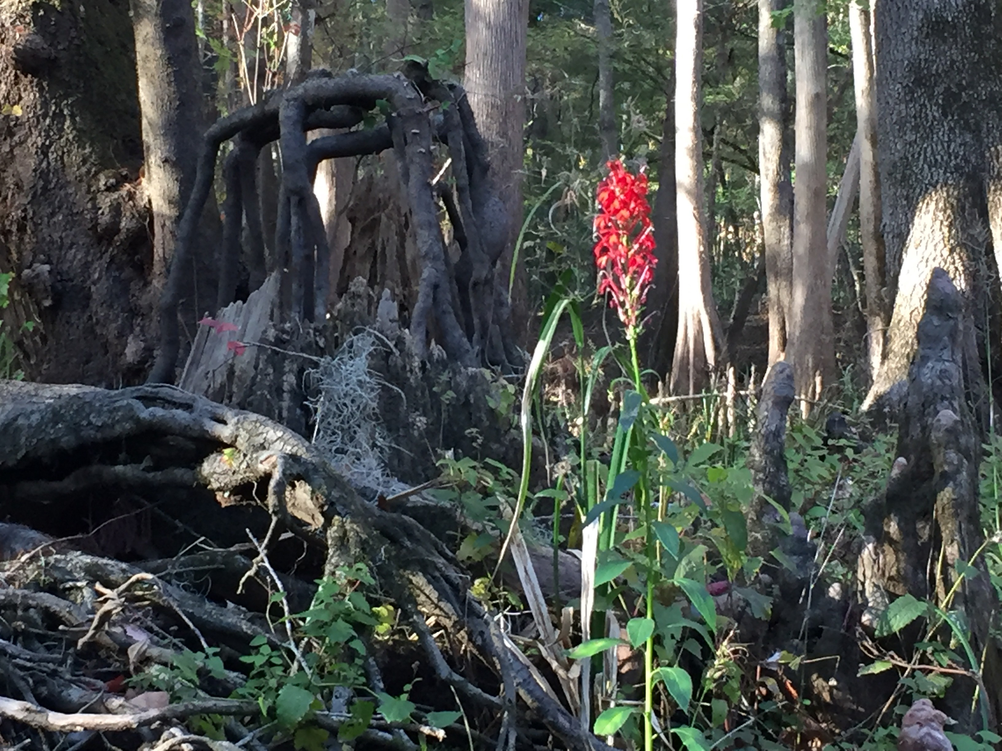 Florida cypress swamp with gnarled roots and red cardinal flower