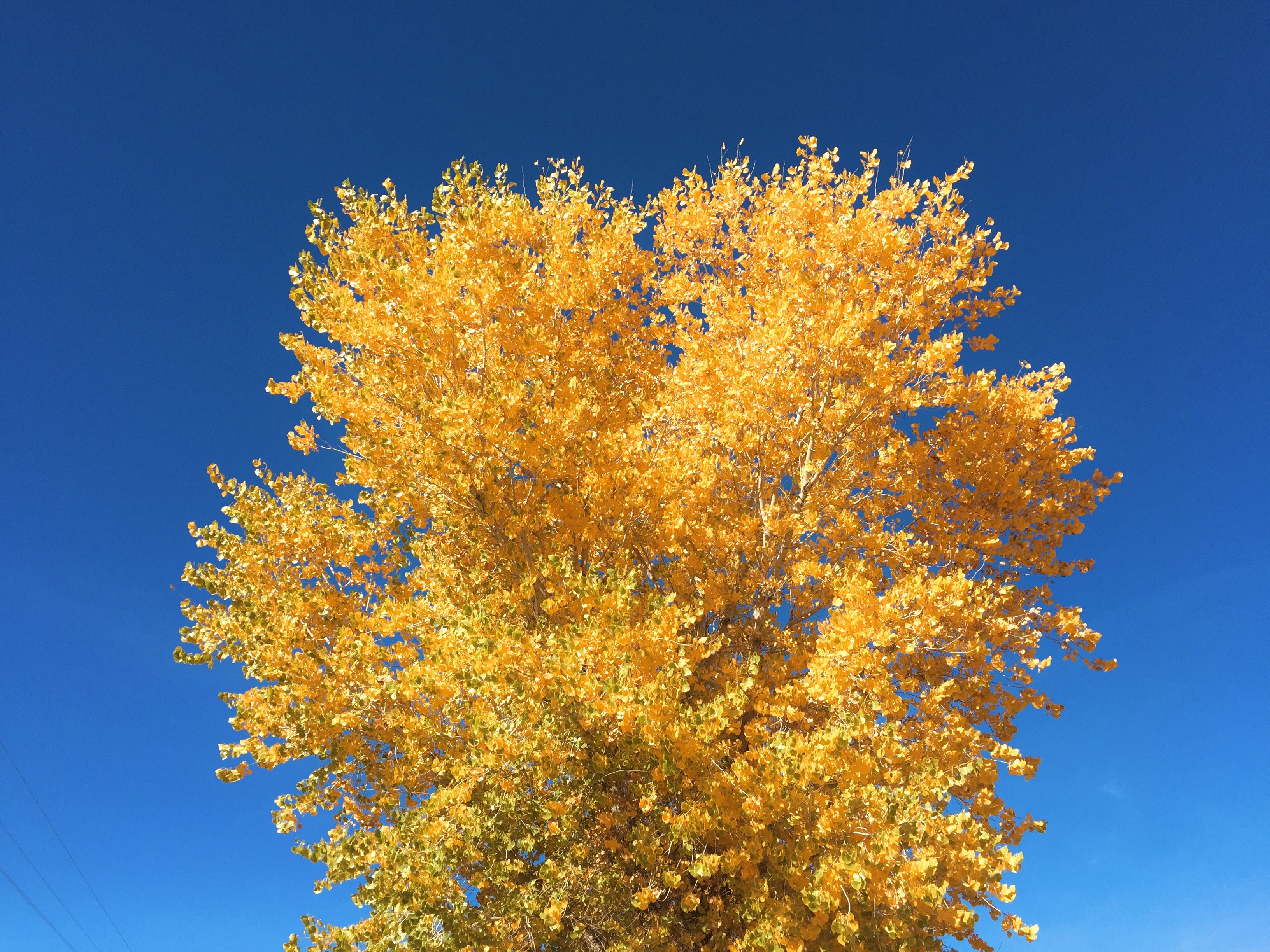 A photo of a tree with yellow leaves. This photo was taken on Navajo Nation.
