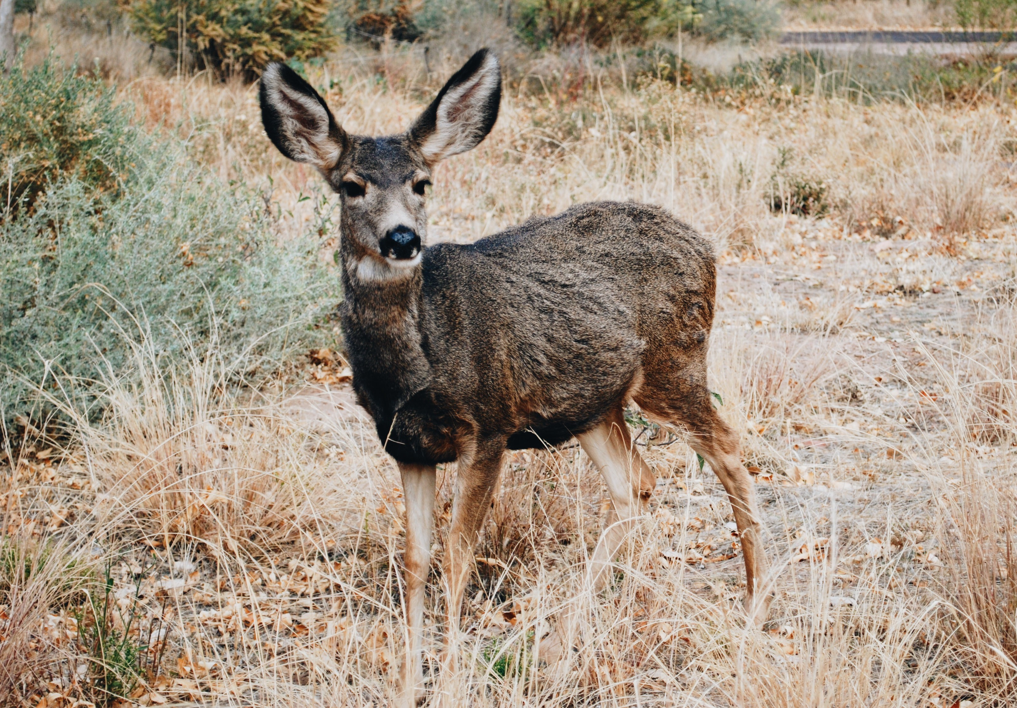 A deer standing in a field of dry grass.