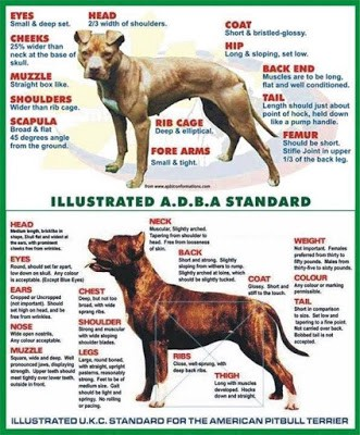 History Of The American Pit Bull Terrier & The Evolution Of The