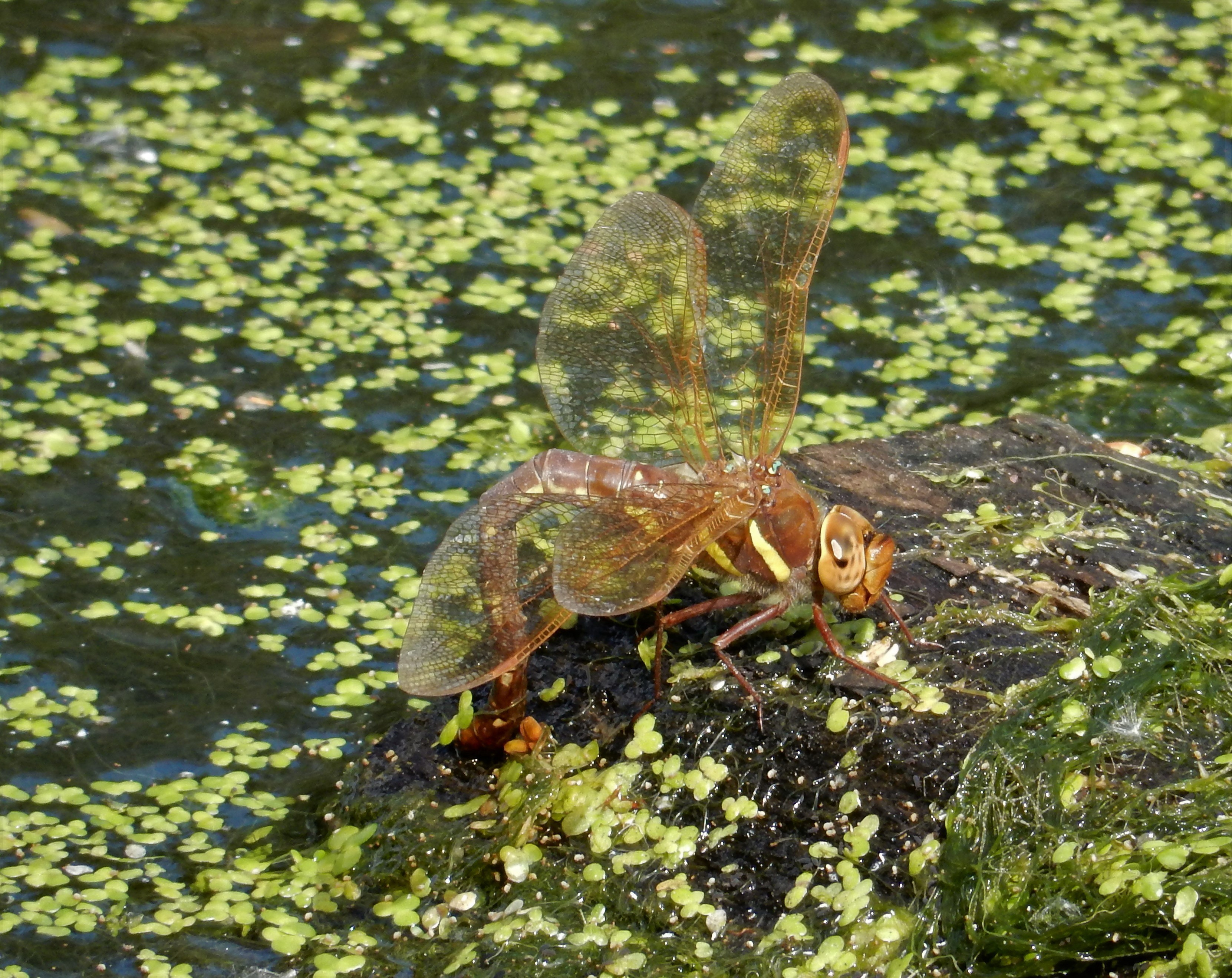 A female brown hawker deposits her eggs in a wet patch of mud.