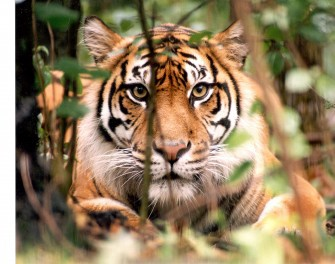 Will The Sumatran Tiger Be Only A Memory In The Future
