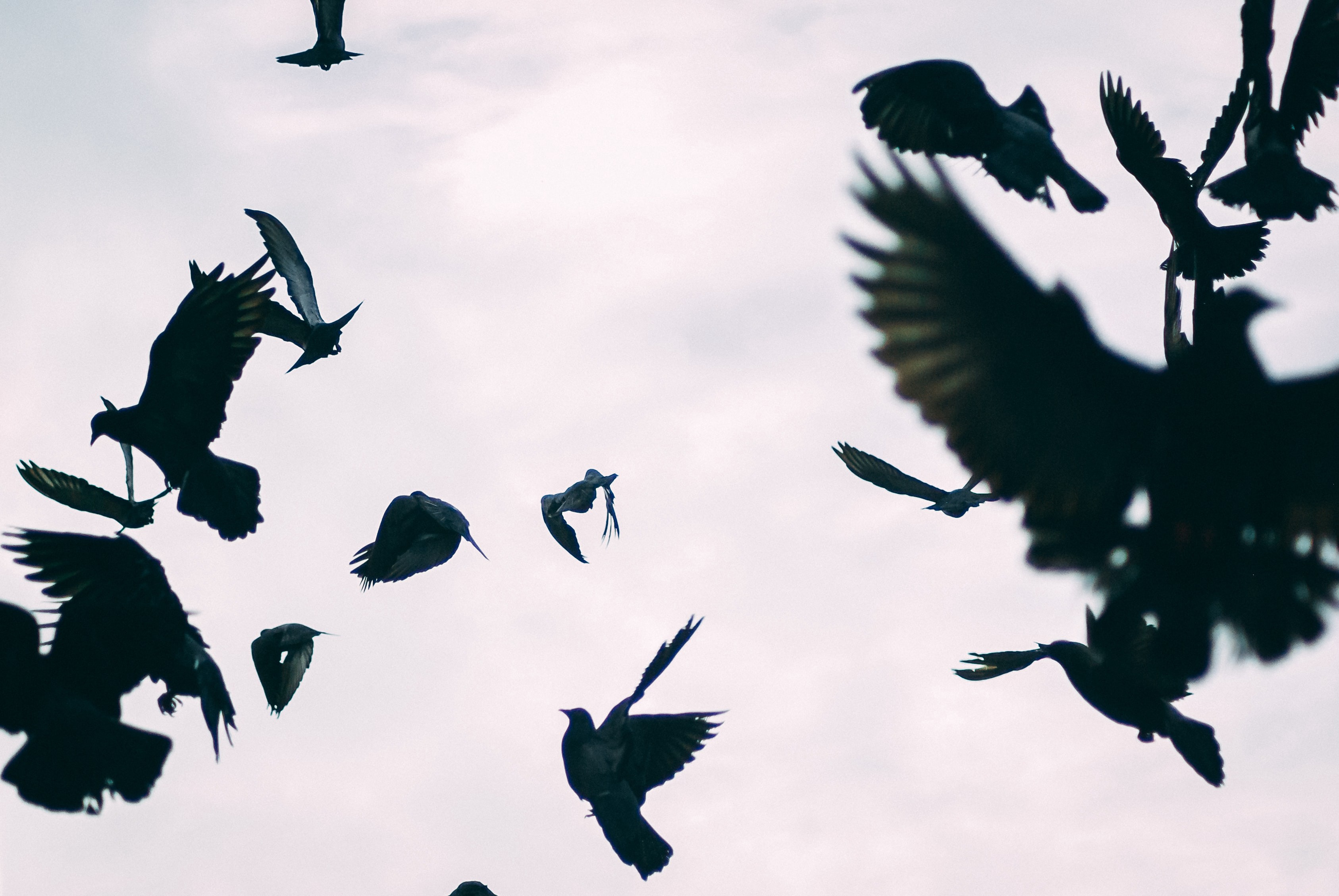 chaotic scene of dark birds flying into a grey sky