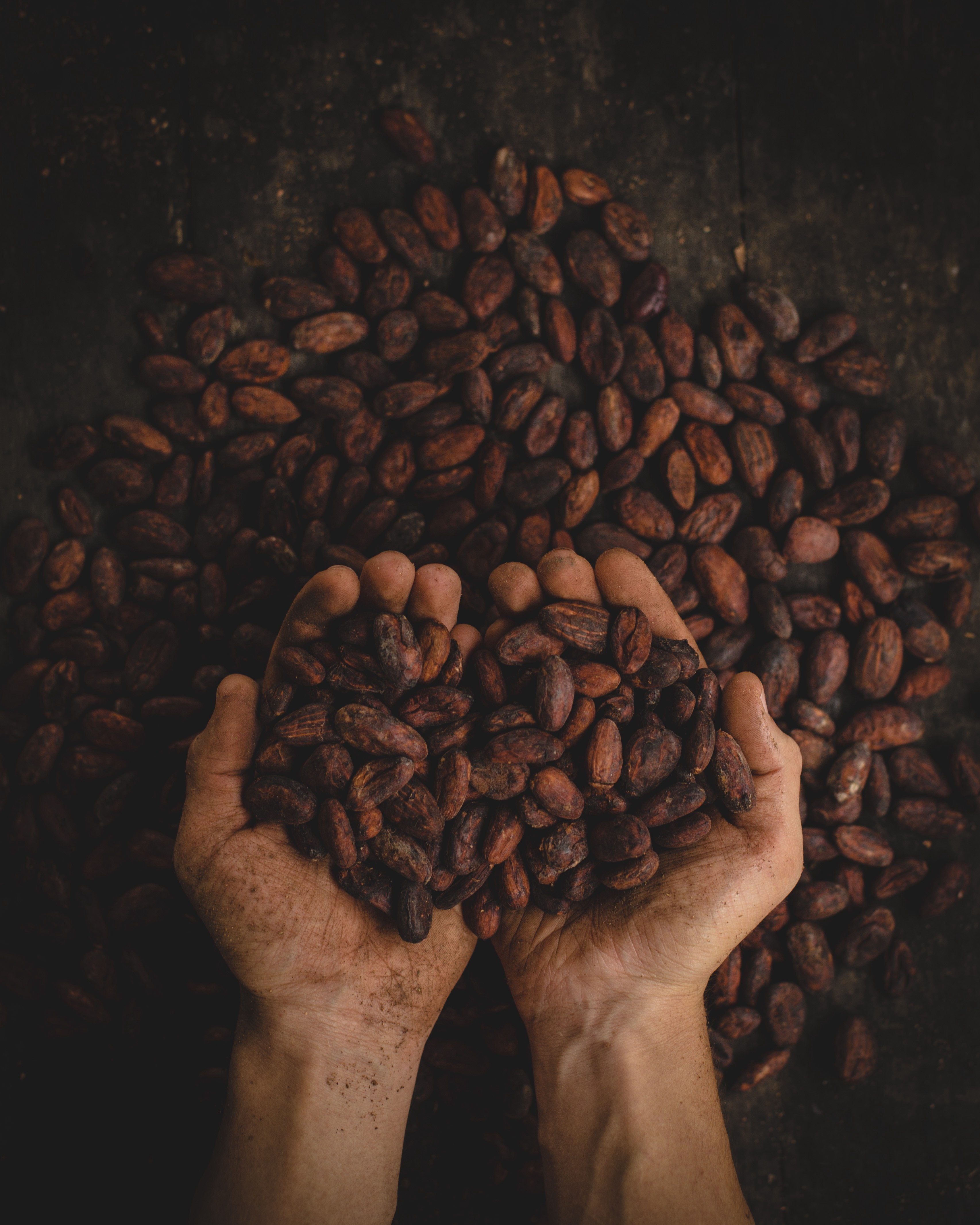 Hands holding cacao beans with more beans below