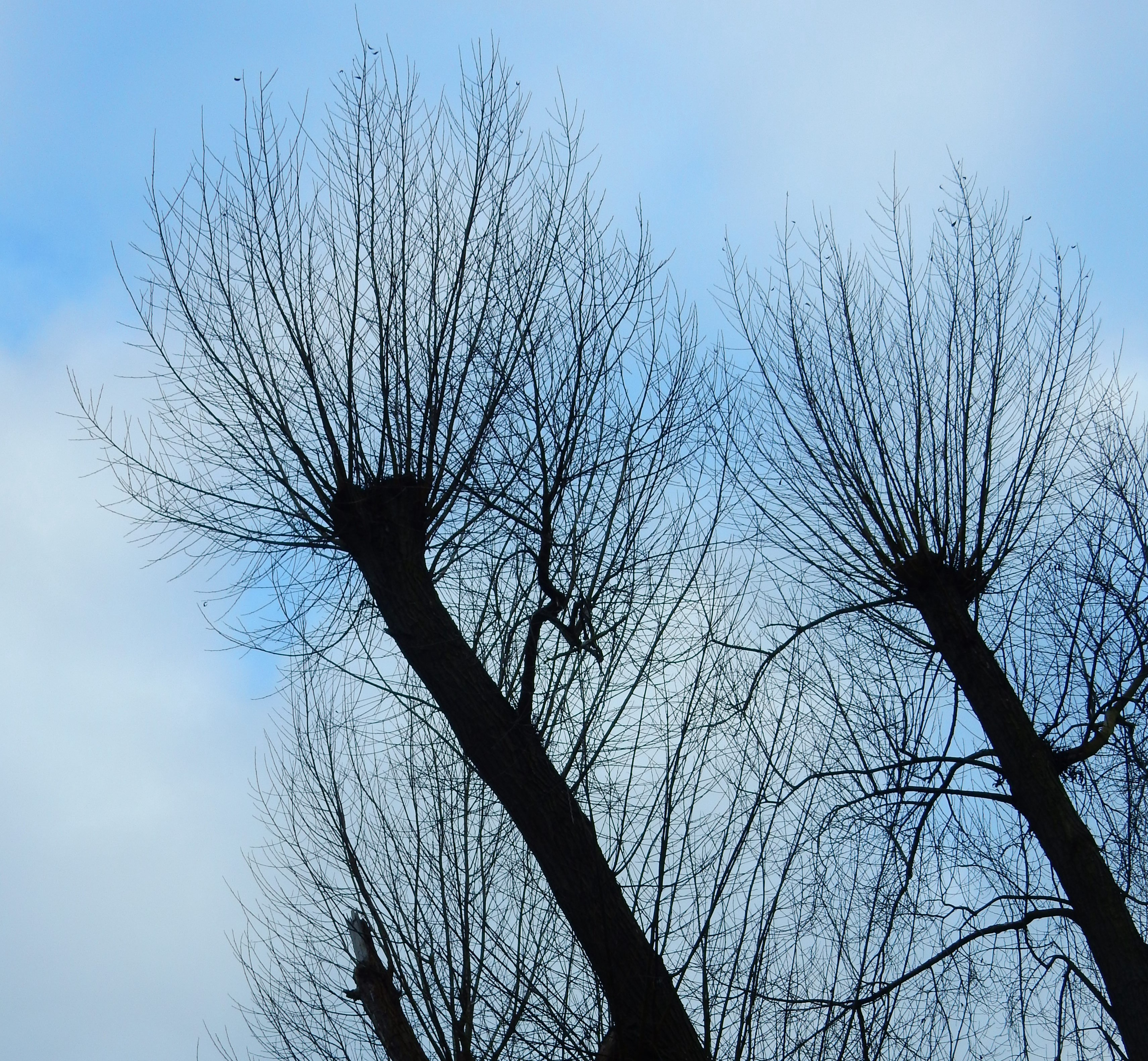 Willow trees with pollarded tops: the spindly branches reach directly upwards in stead of weeping downwards.