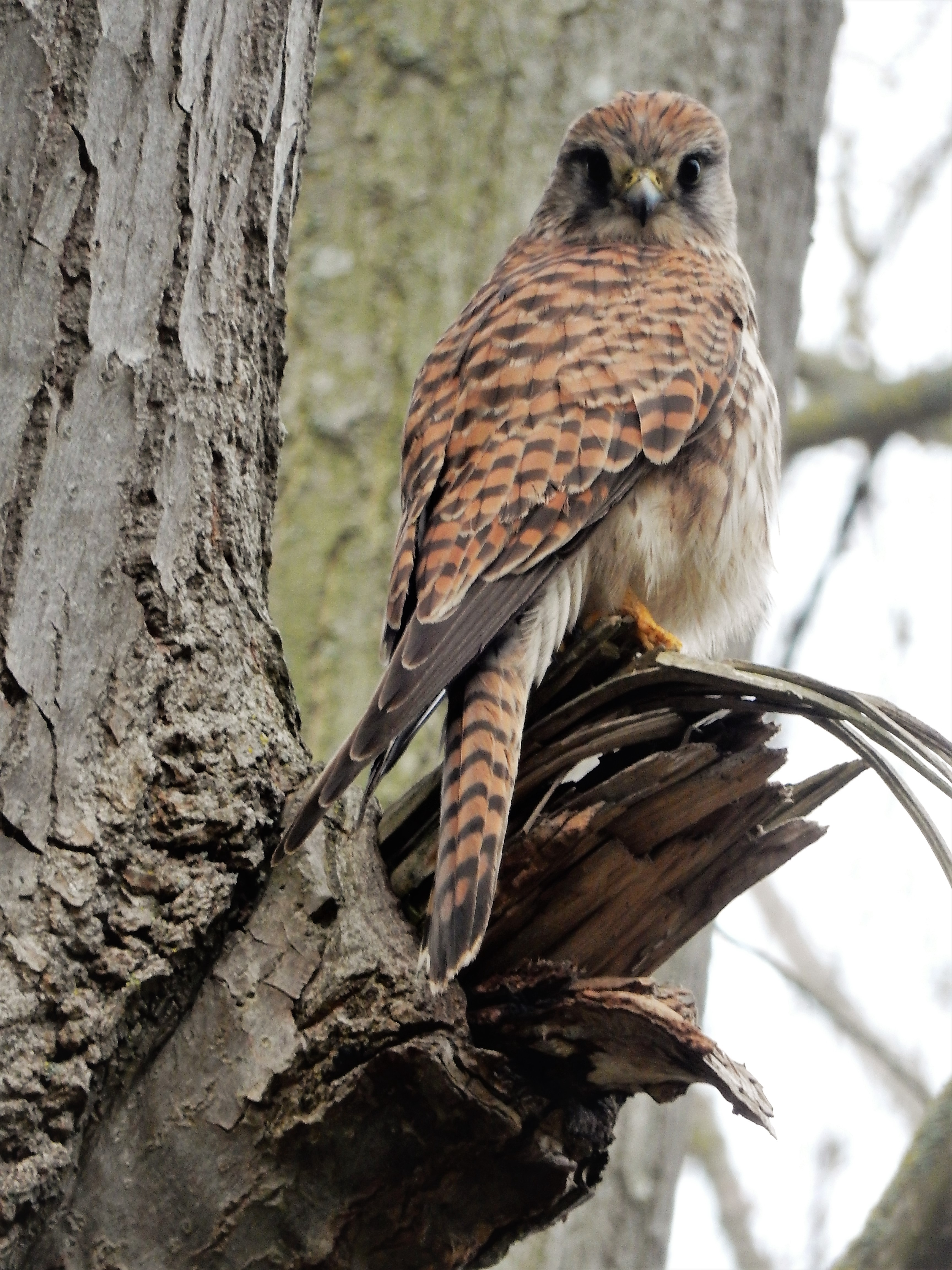 Kestrel in a tree from curved beak to striped tail feathers looking directly at you.