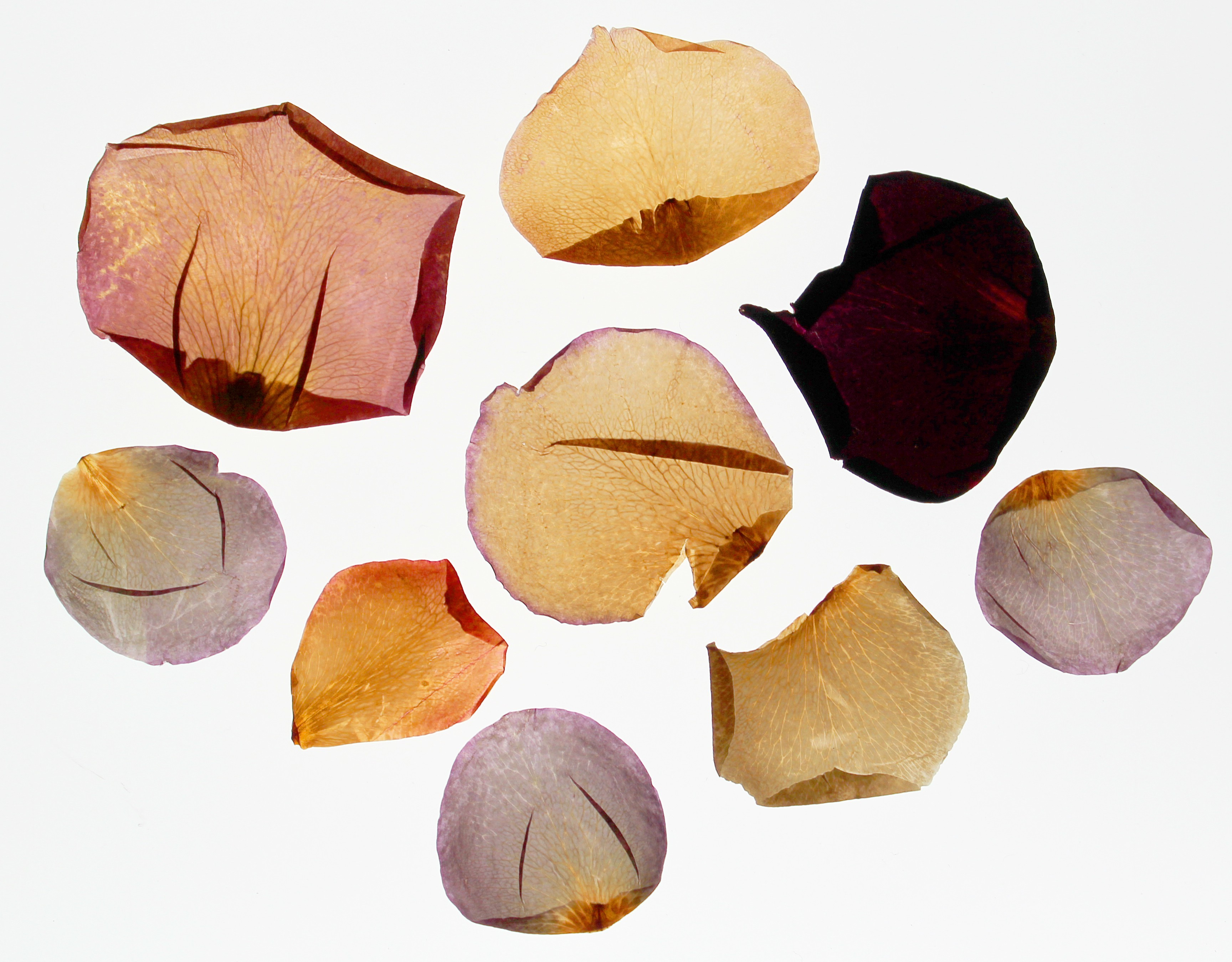 Dried Rose Petals arranged and photographed on a light box