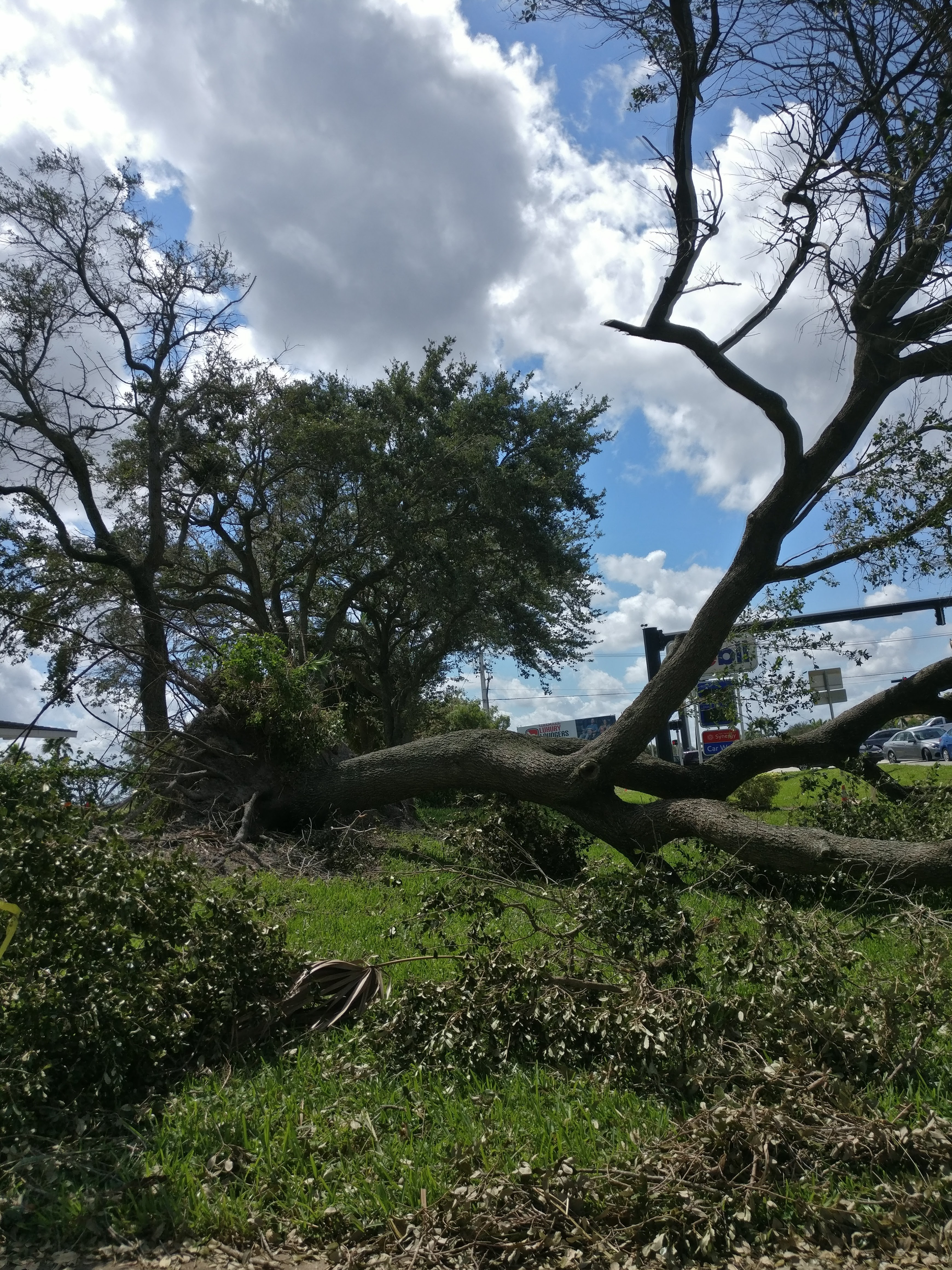 Fallen tree after the hurricane—photo by author