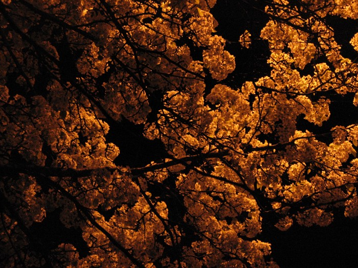 Cherry blossoms at night / by author