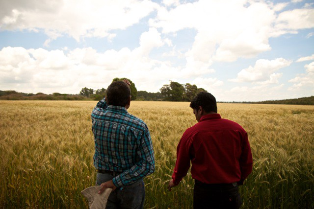 Cimmyt researchers examine wheat crops outside njoro // peter guest