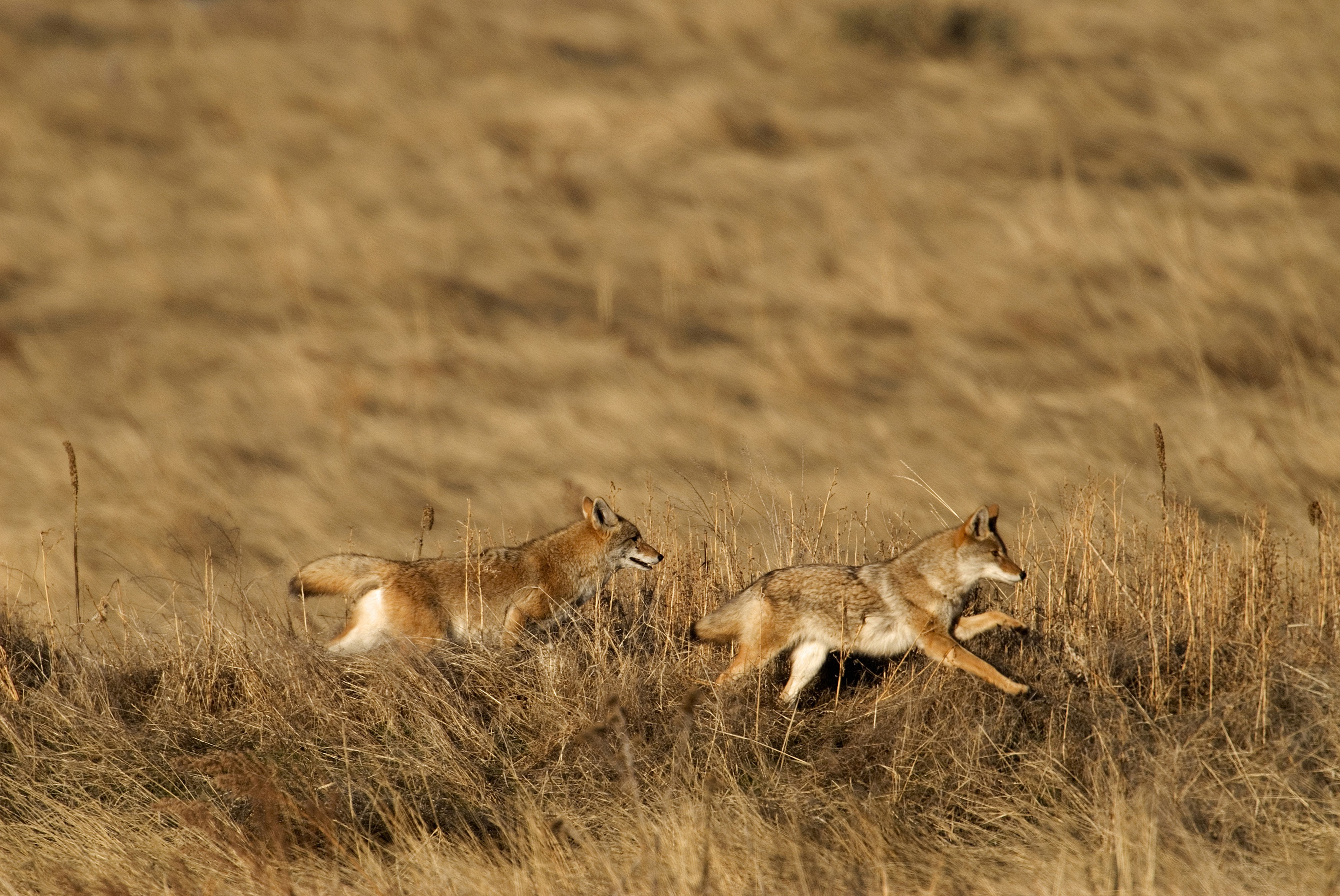 Pair of coyotes running in Rocky Mountain Arsenal NWR CO