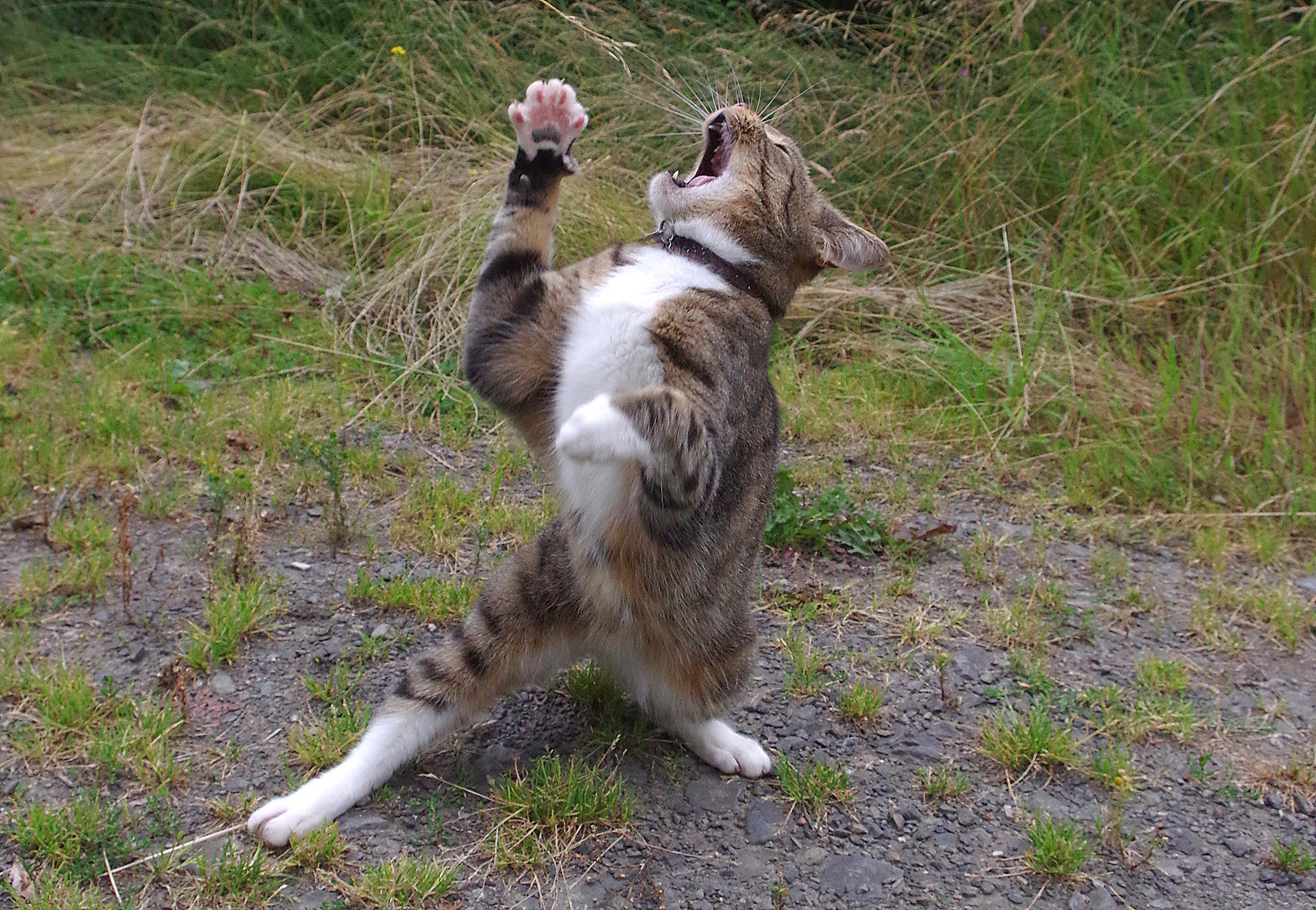 A small cat is standing erect, face tilted towards the sky, seemingly cursing or praising god, depending on your perspective.
