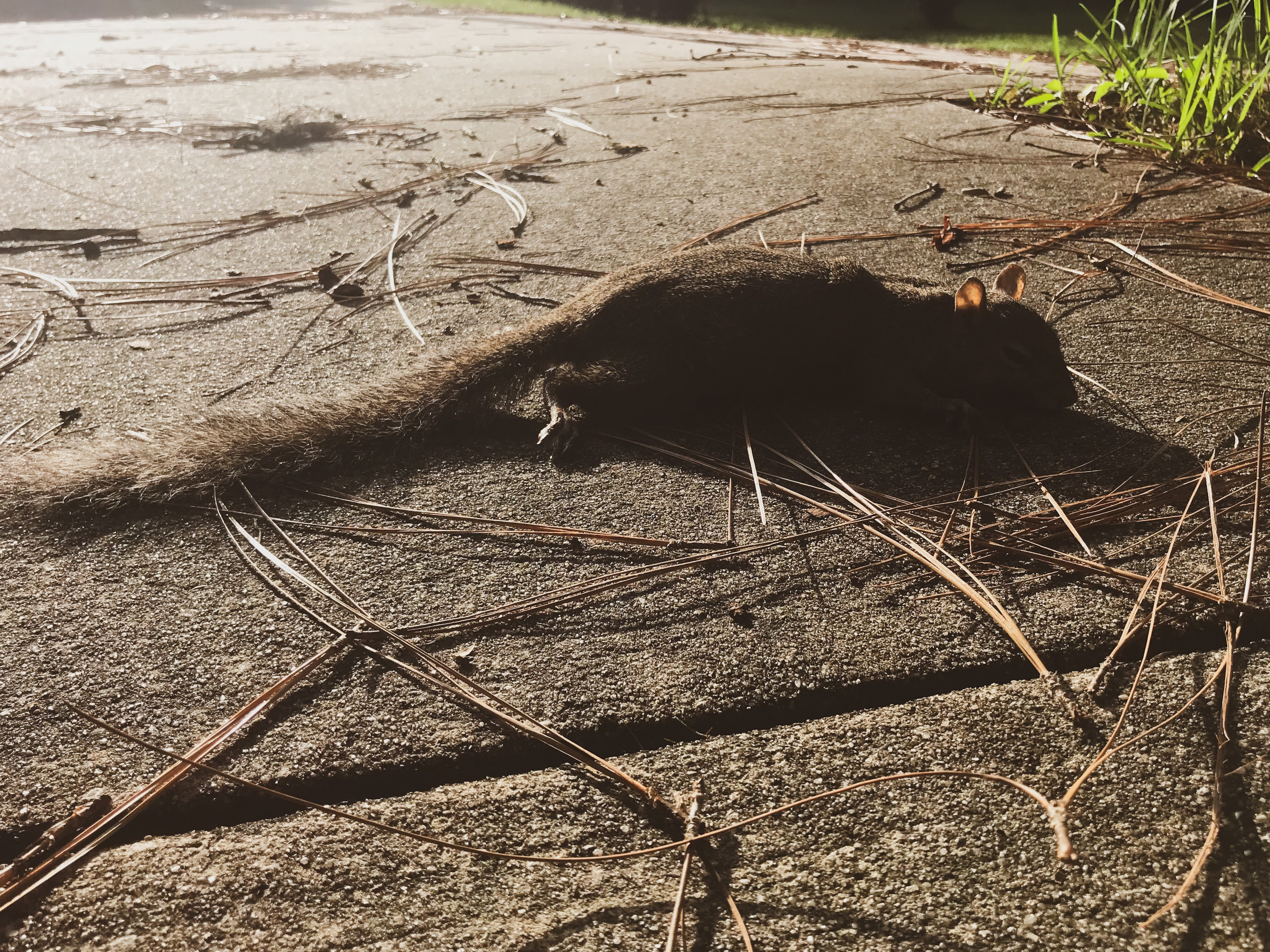 A squirrel laying expired on concrete among pine needles, its eyes open and light shining through its gossamer ears.