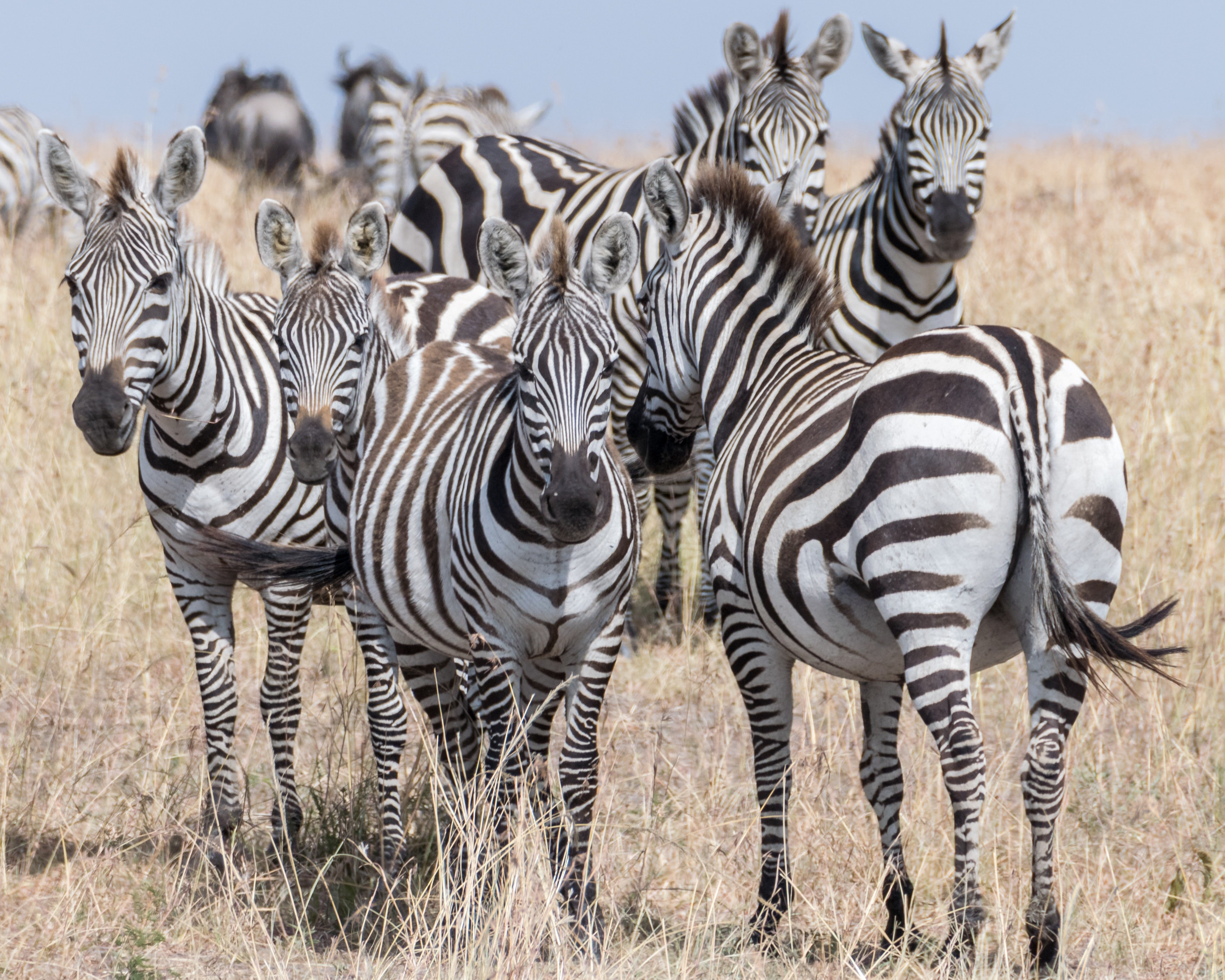 A group of zebras standing together in a field