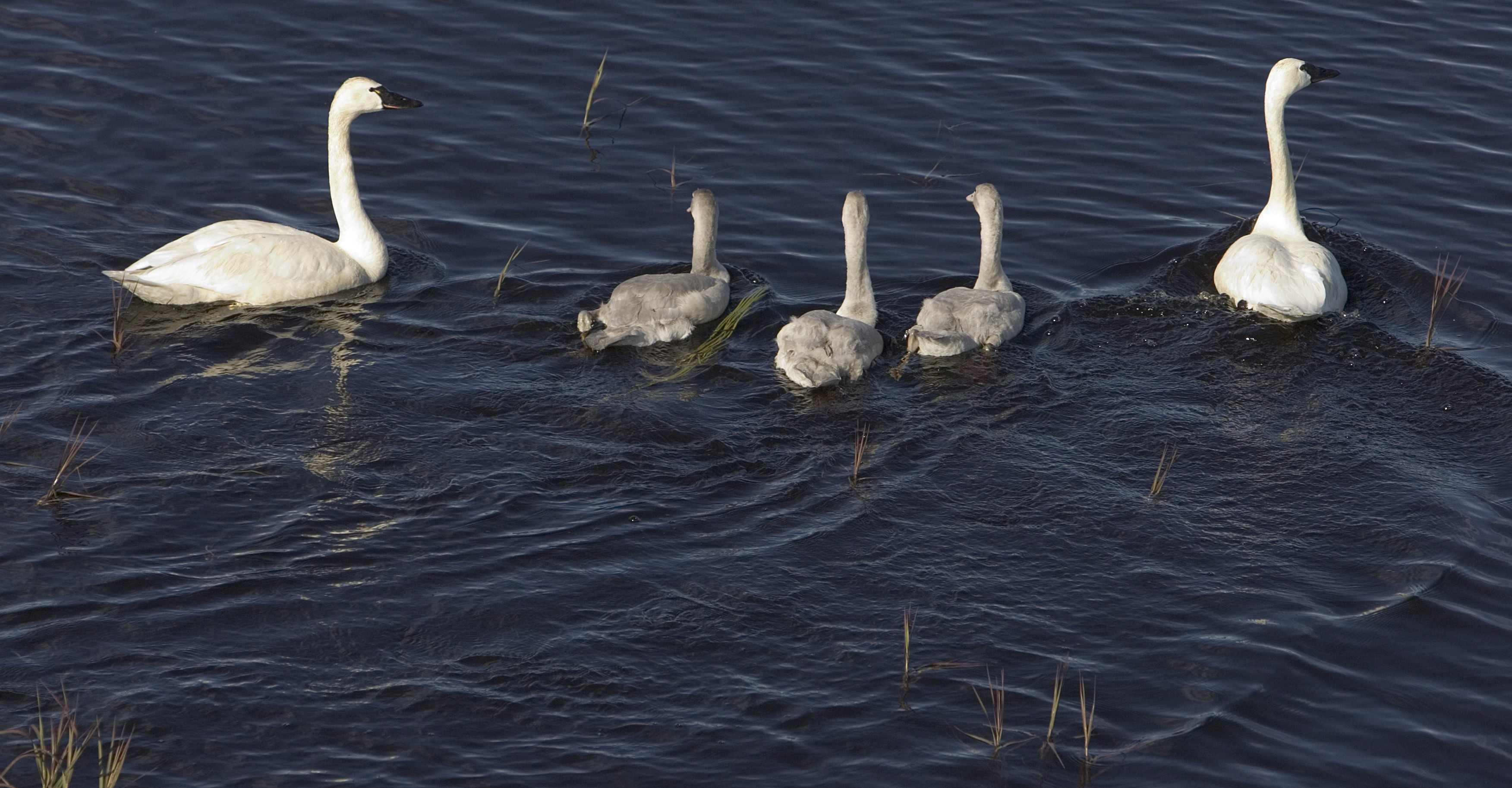 2 adult swans with three grey babies in between swimming in the water.