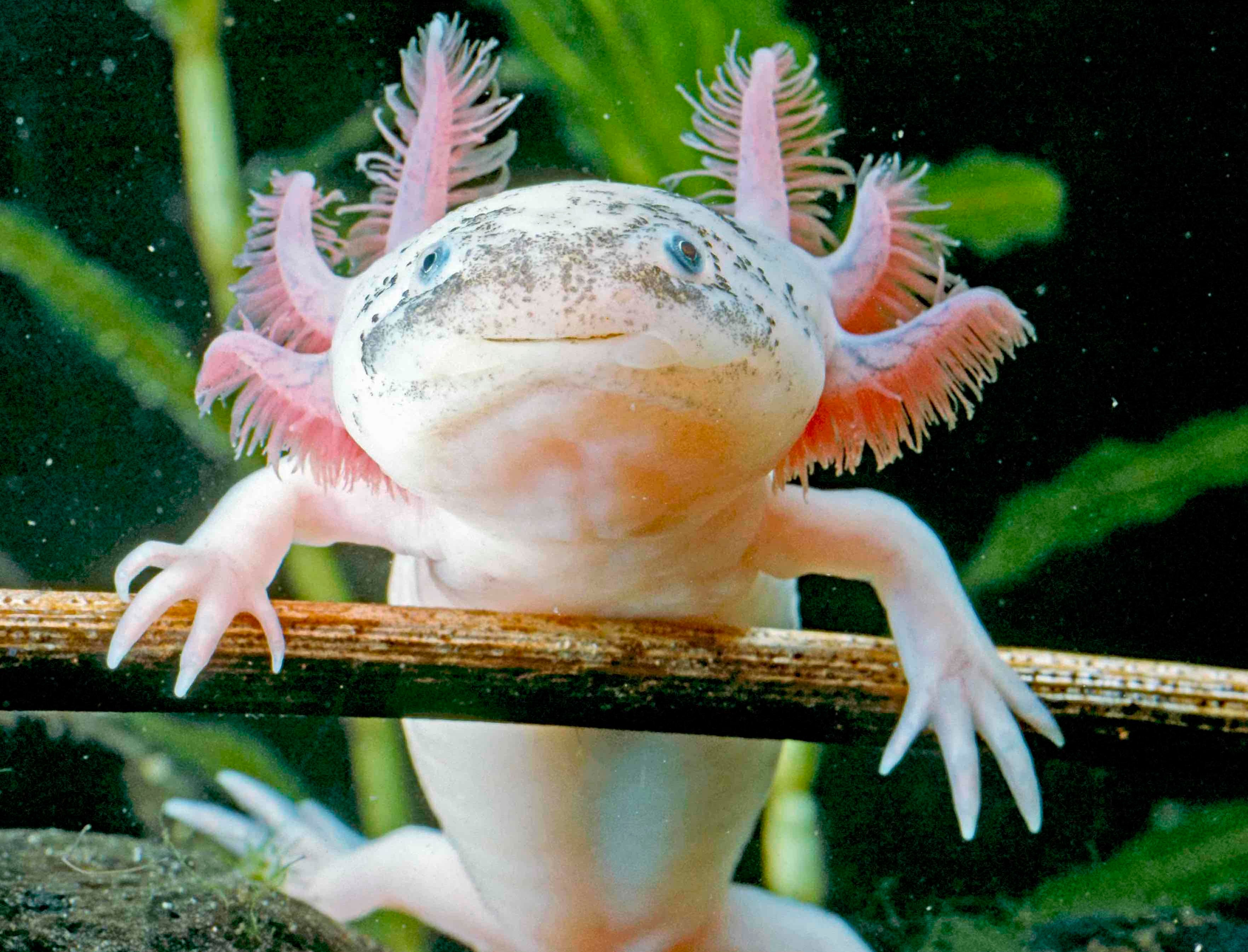 an axolotls, an amphibian that looks like they have a smile on their face and has pink fringed feelers around their head