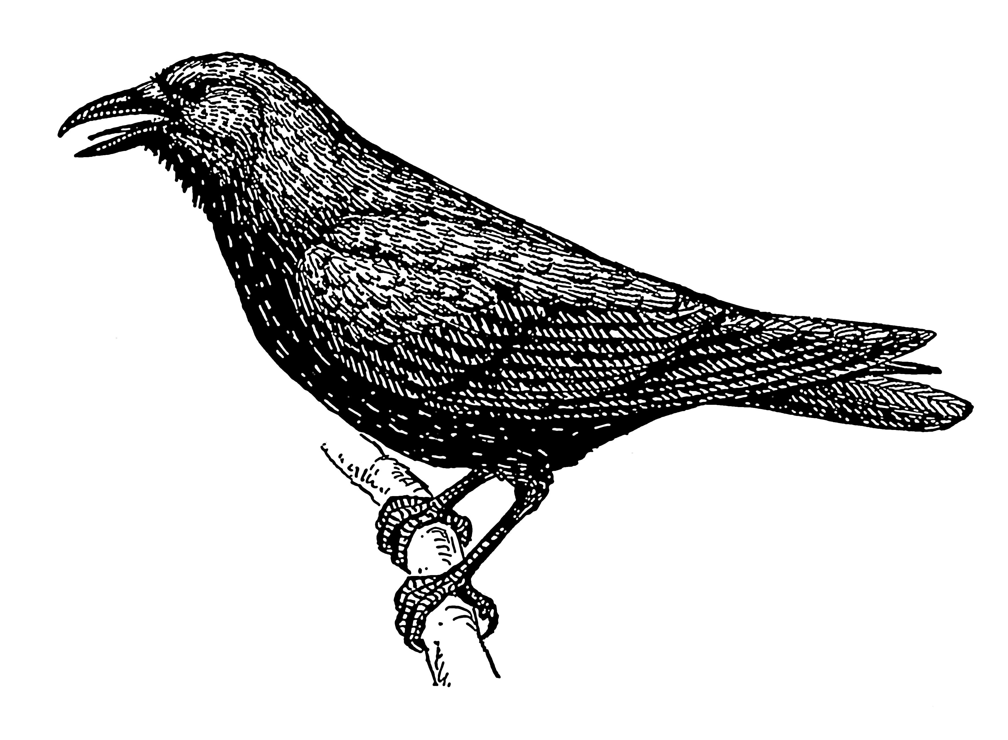 Genius in the Trees: What is it about Crows? - Bullshit IST