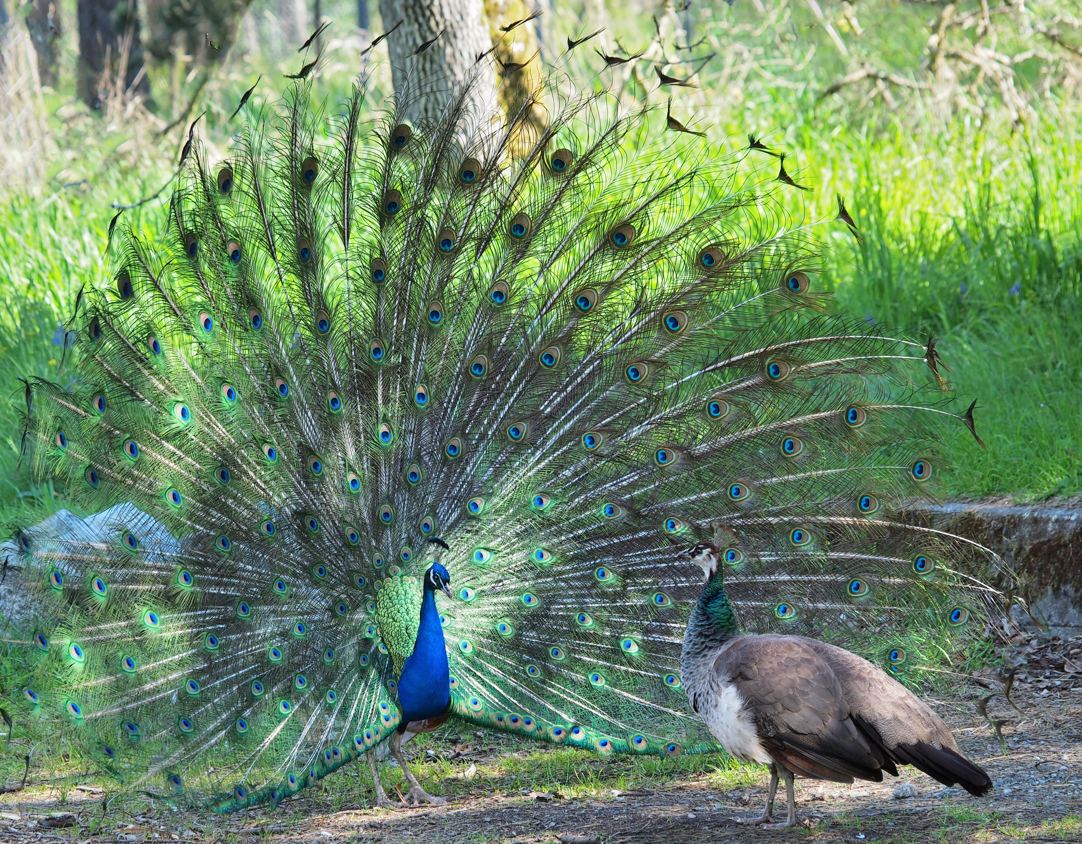 Peacock courting ritual, peahen looks at male. Reproduction takes place after attraction between the partners.