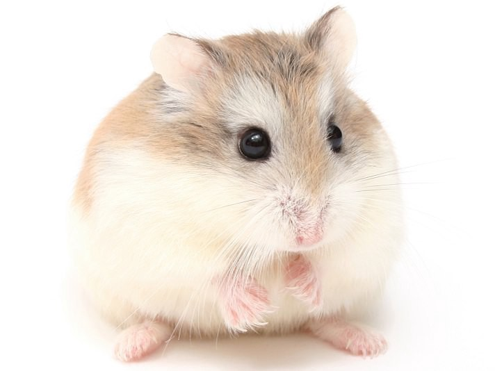 A Guide To The Types Of Hamsters - learnabouthamsters - Medium