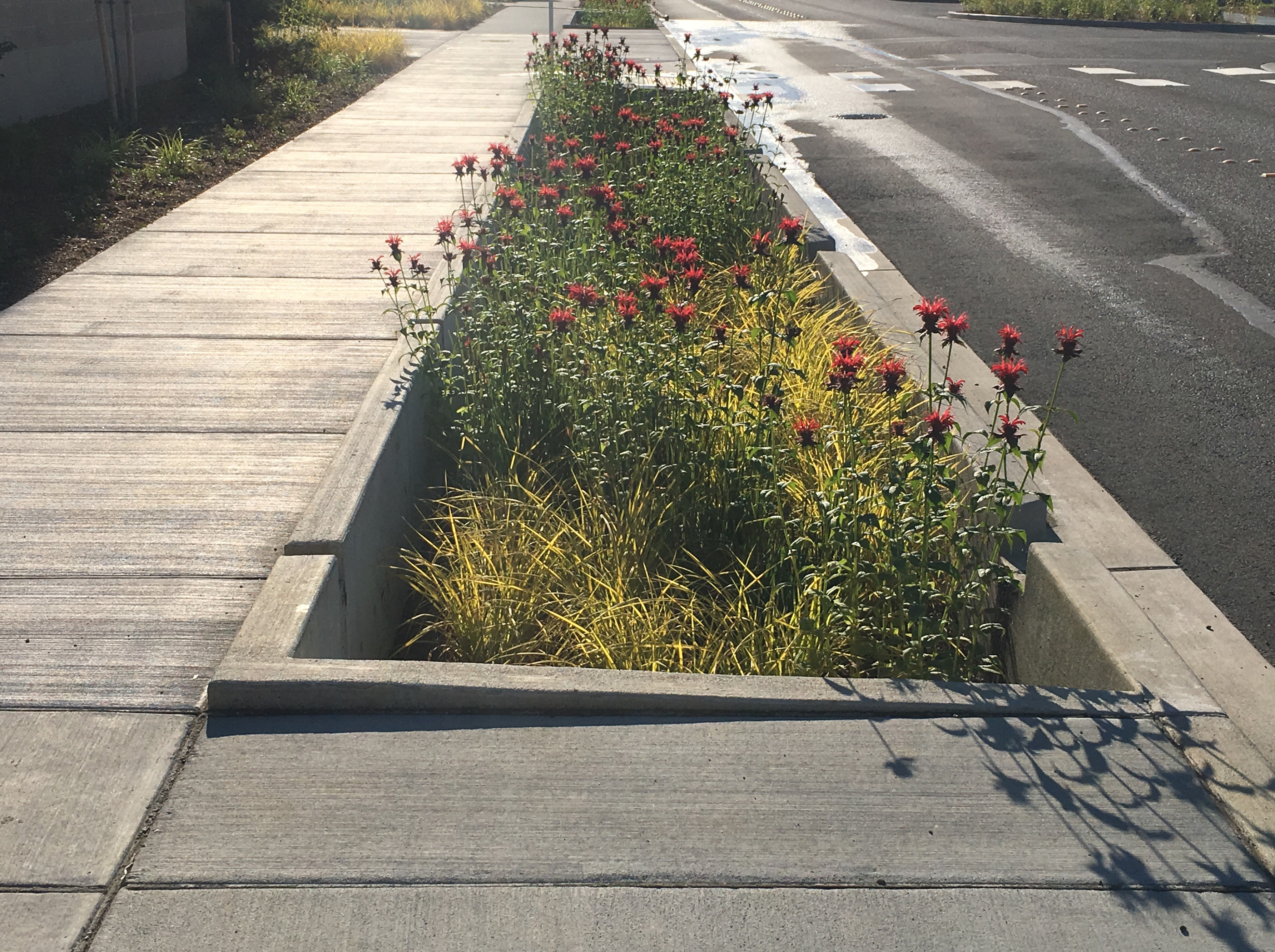Photo of one of the bioretention cells on First Street in Marysville, with flowering plants in the concrete cell.
