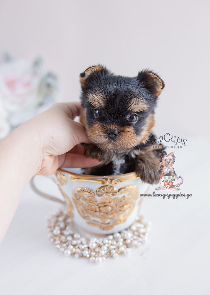 PLACES TO GET A TEACUP YORKIE PUPPIES FOR SALE - sawitsky