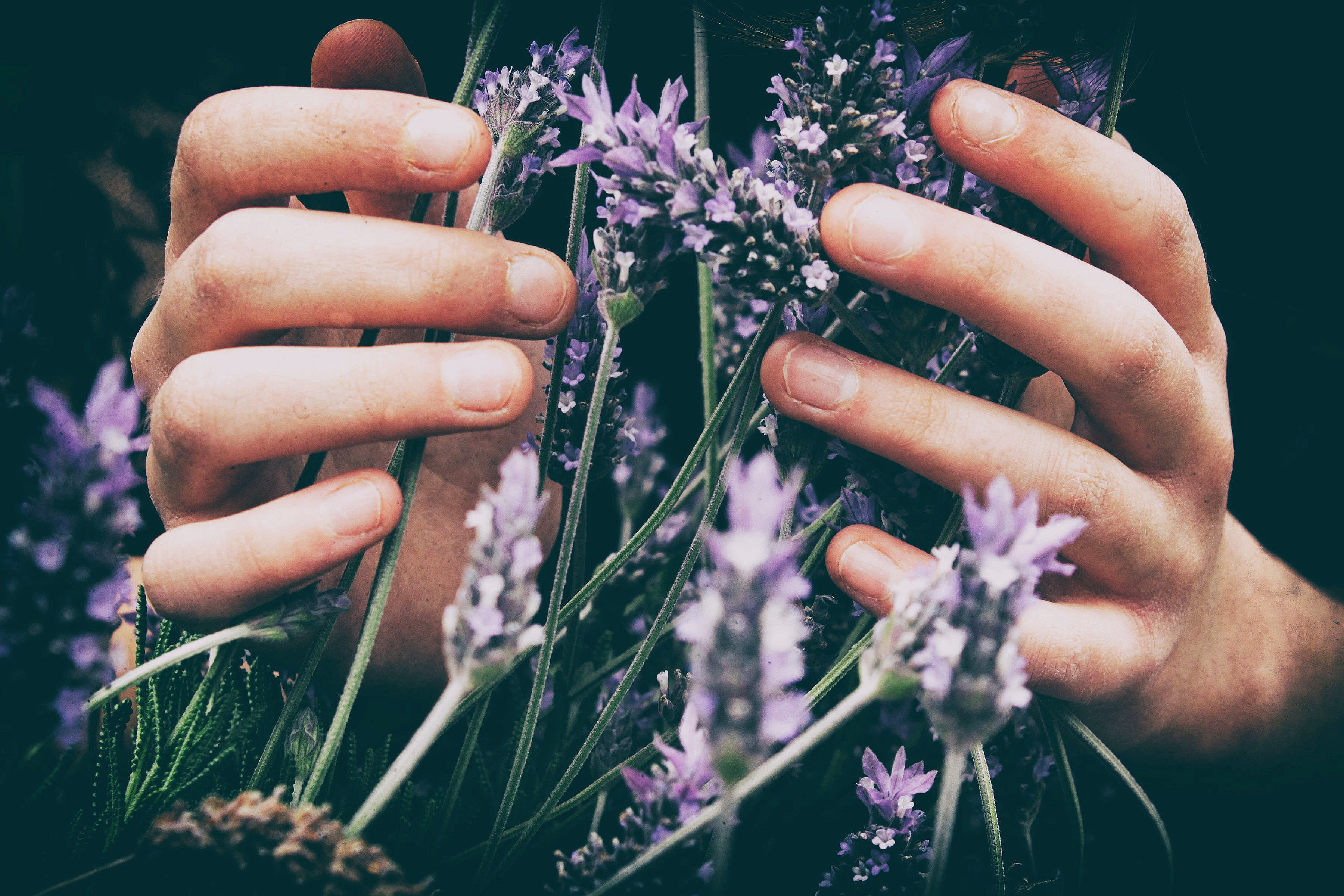Two hands holding a sprigs of fresh lavender.