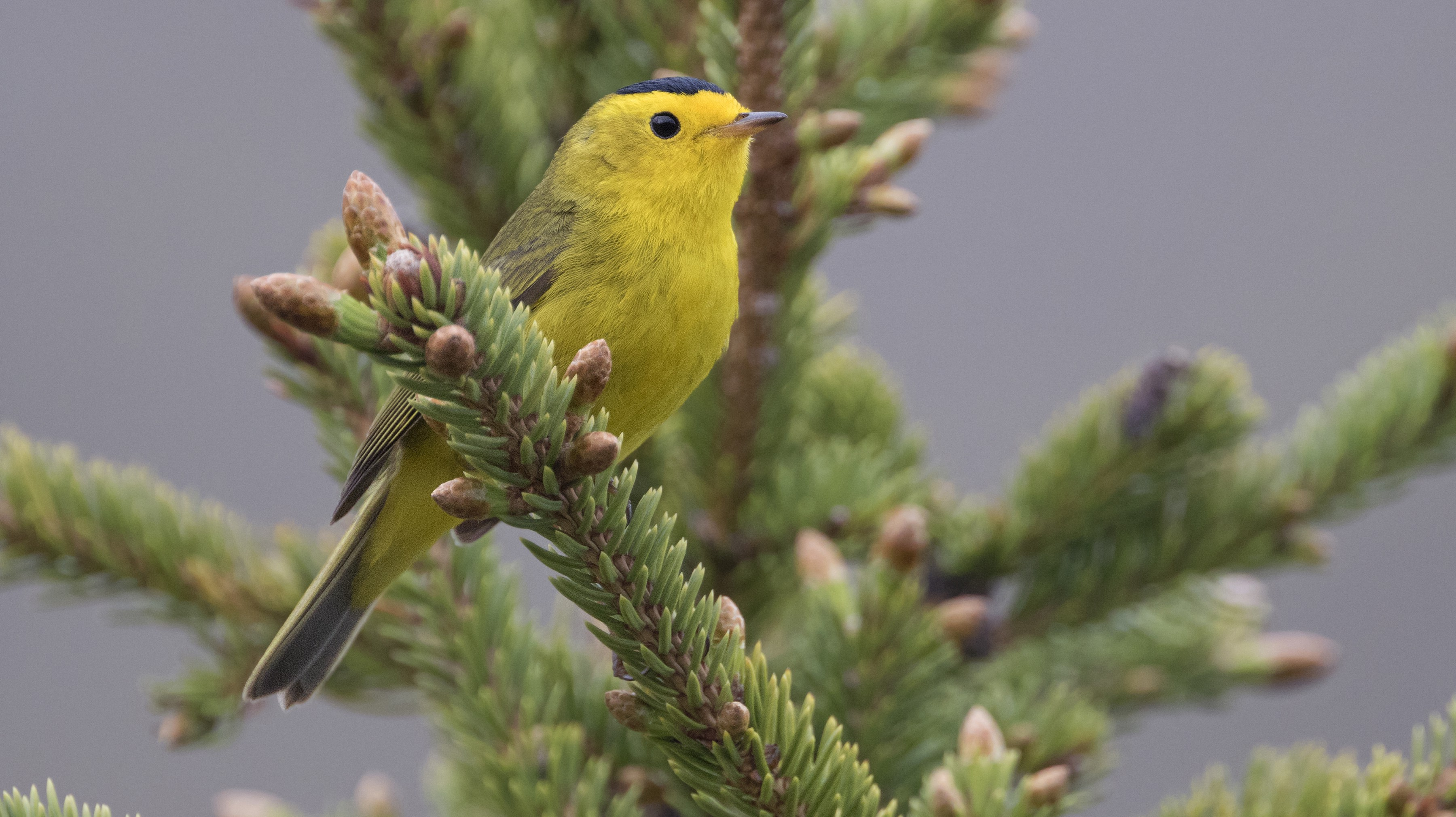 Yellow wilson's warbler perched in a spruce in Alaska