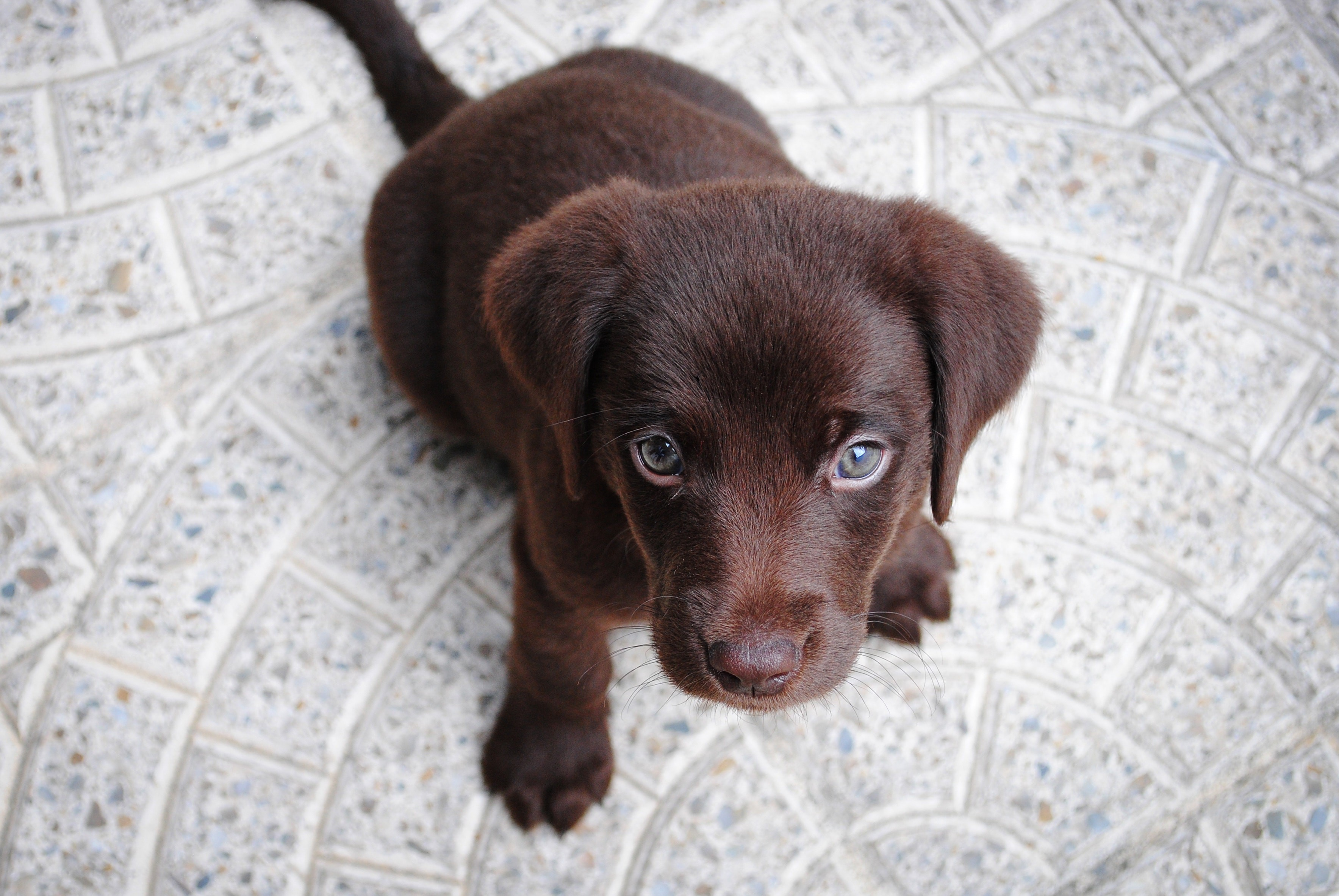 View from above of a cute brown puppy looking up