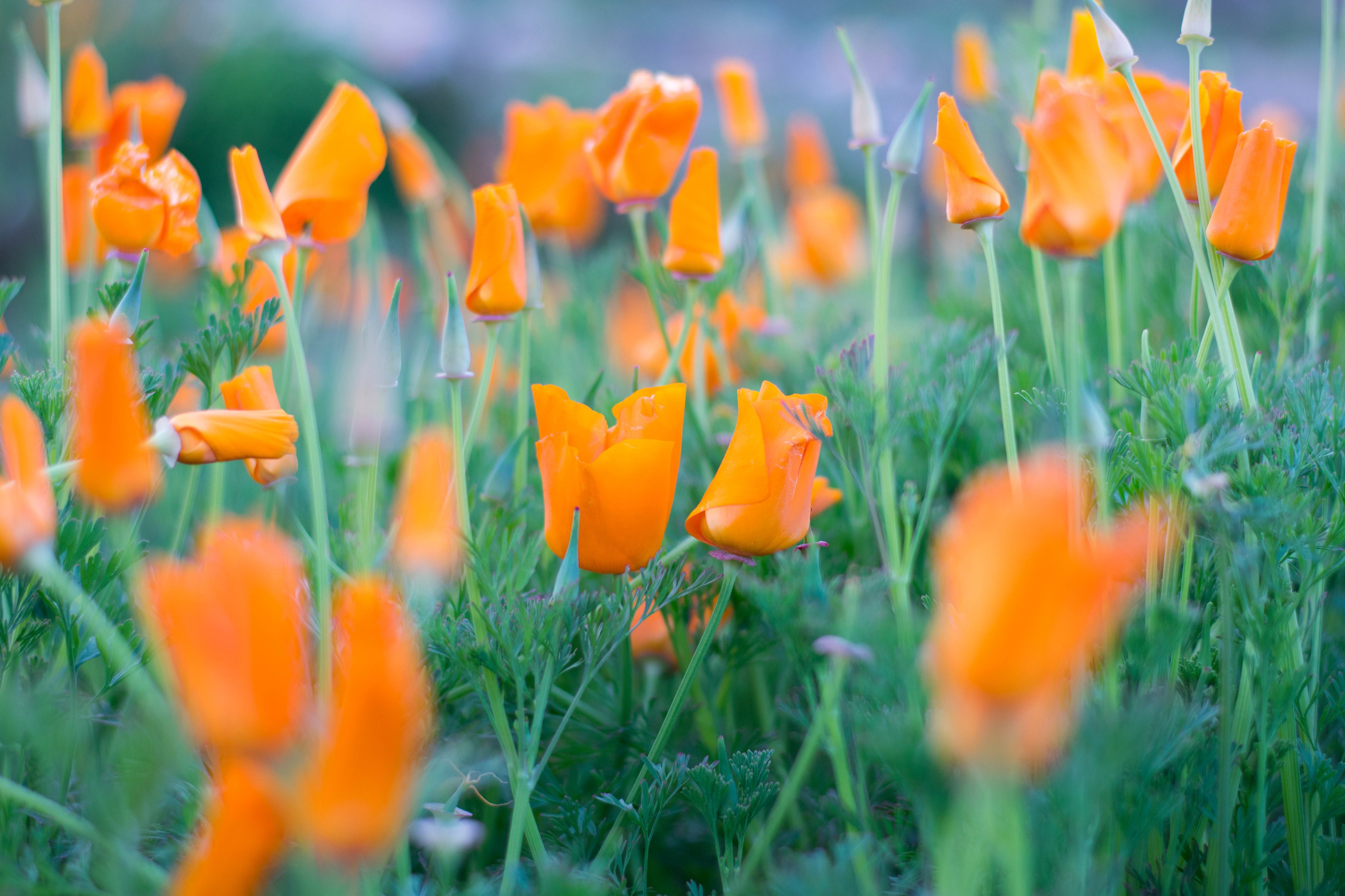 Tbi S 5 Best Views Of The California Poppy Blooms The Bold Italic